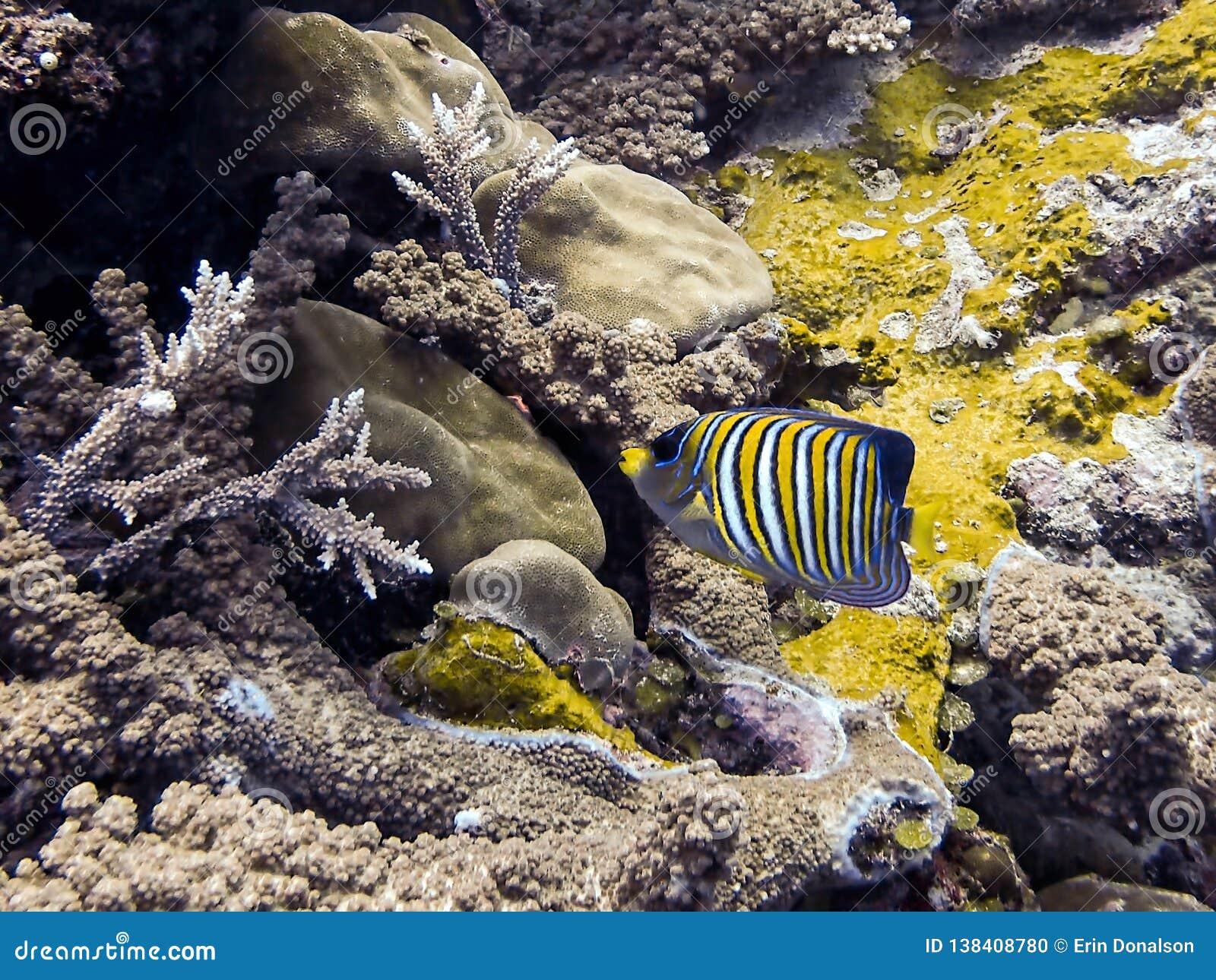 Den kungliga havsängeln gjorde randig ljust den tropiska fisken över den undervattens- korallreven