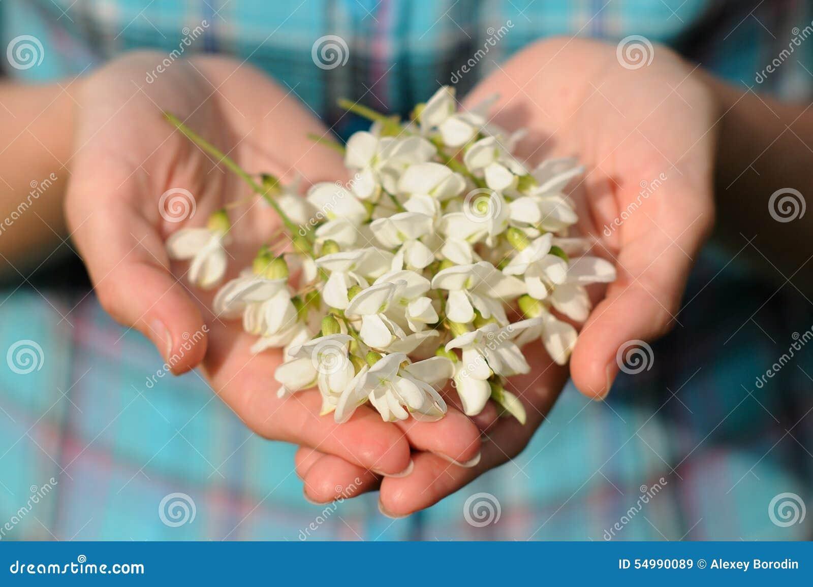 Den lösa akacian blommar i flickans händer