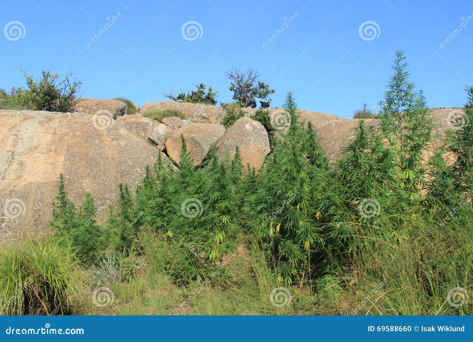 Den lösa det fria som växer cannabis, rensar drognarkotiska preparat i Swaziland, Afrika