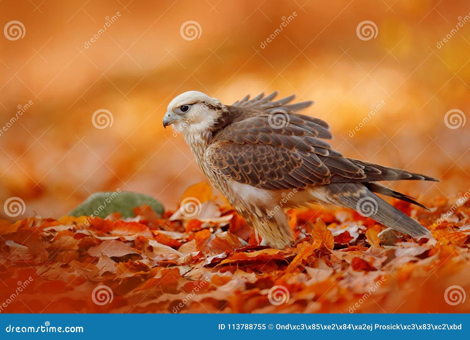 Den Lanner falken, den Falco biarmicusen, Afrika den sällsynta fågeln av rov med orange sidor förgrena sig i höstskogen, Spanien