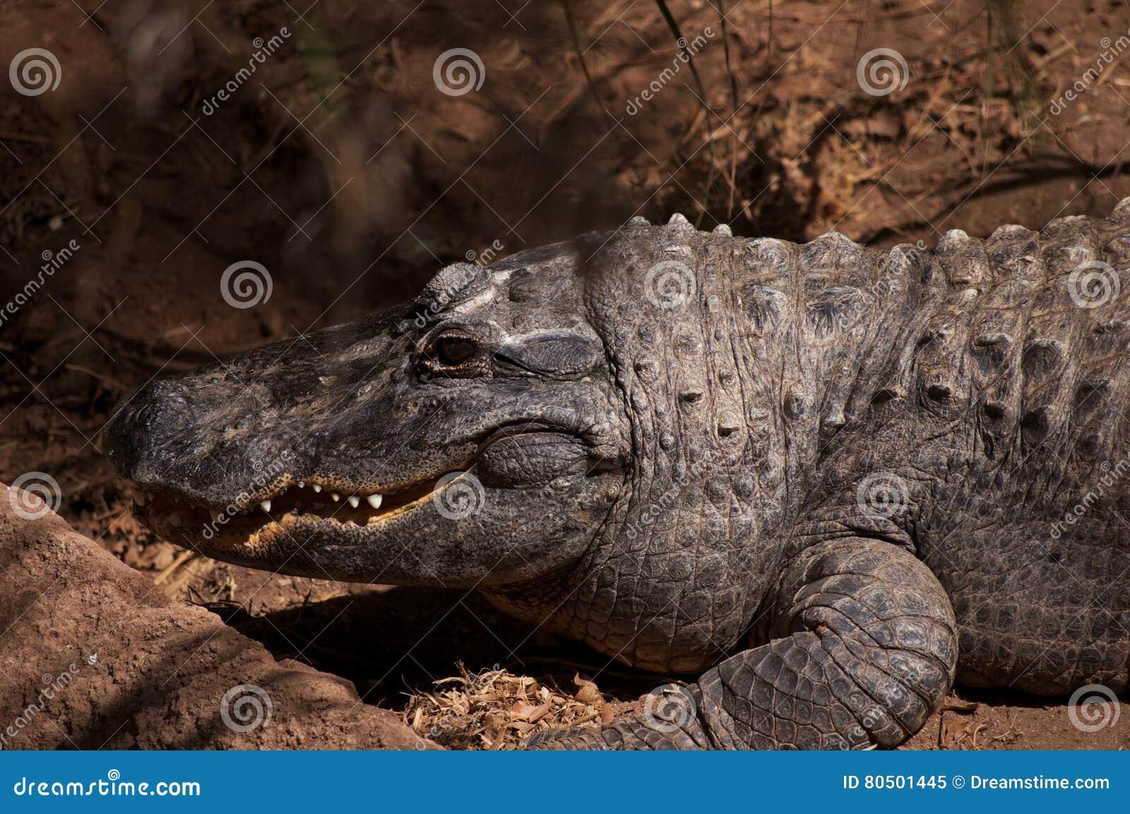 Den le krokodilen