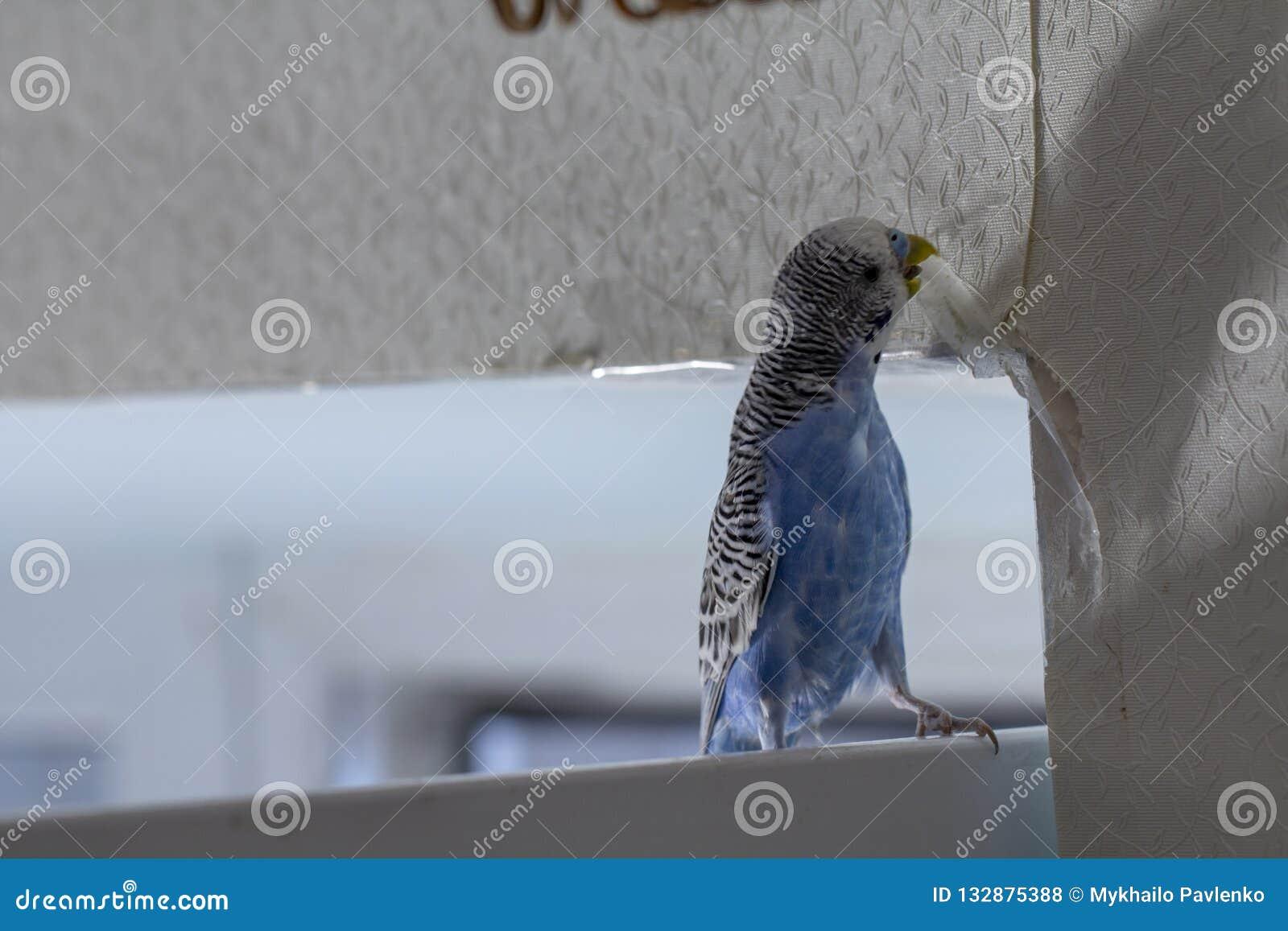 Den lilla blåa krabba papegojan som sitter på en filial, gnag revor skrapar väggen och att orsaka skada för att skyla över briste