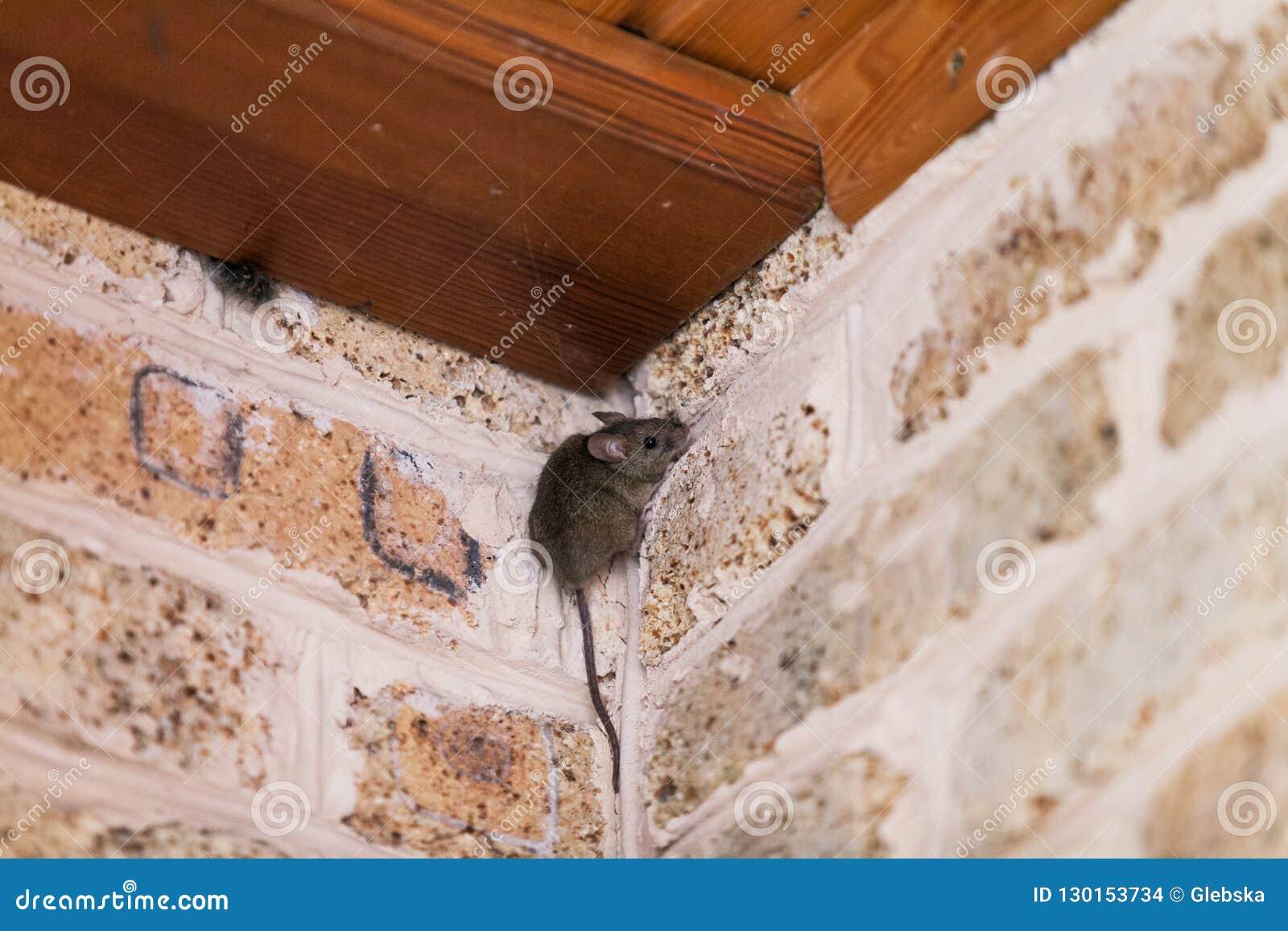 Den lilla gråa musen sitter det bästa hörnet