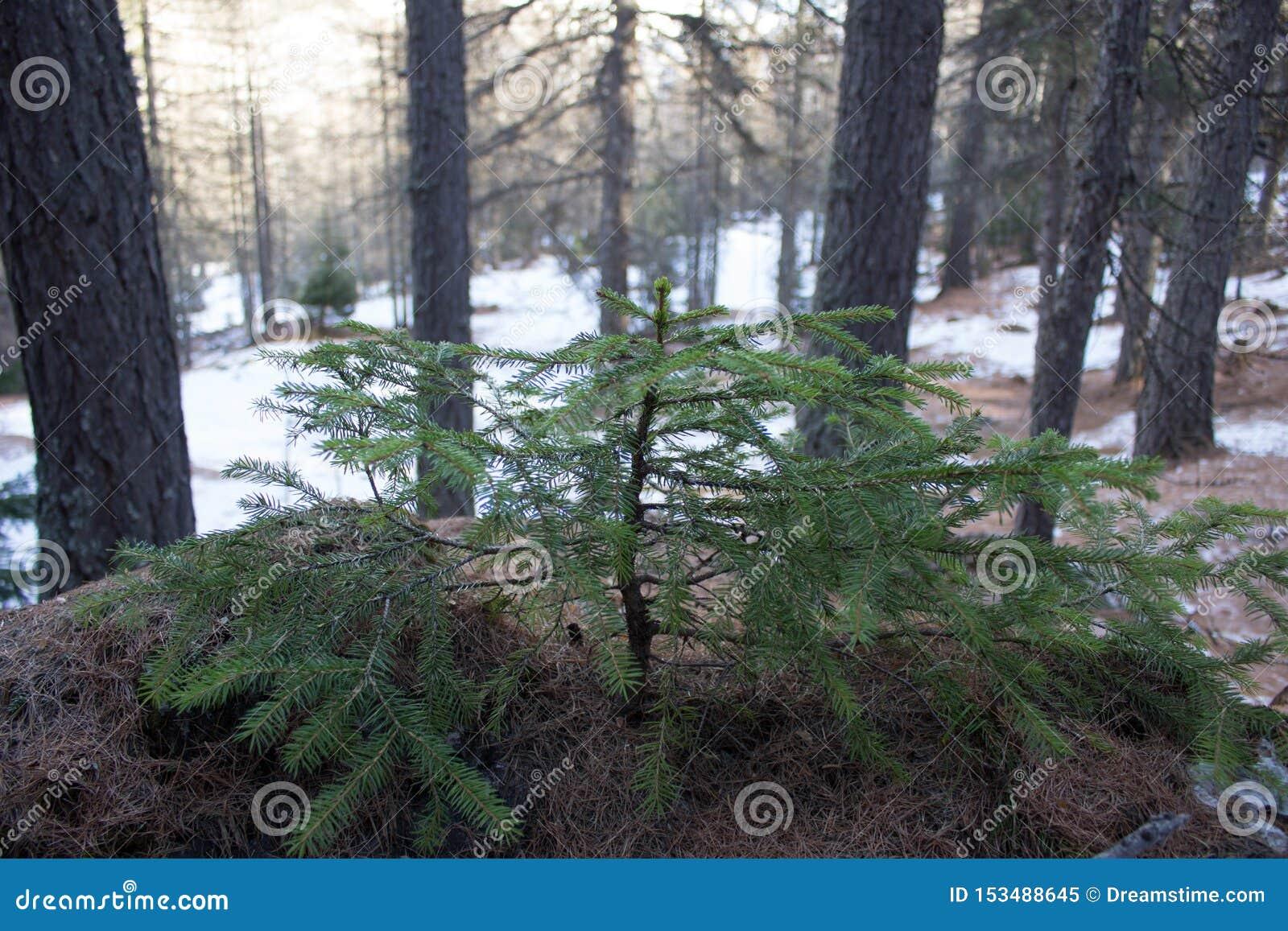 Den lilla granen på vaggar täckt av spucevisare i vinter
