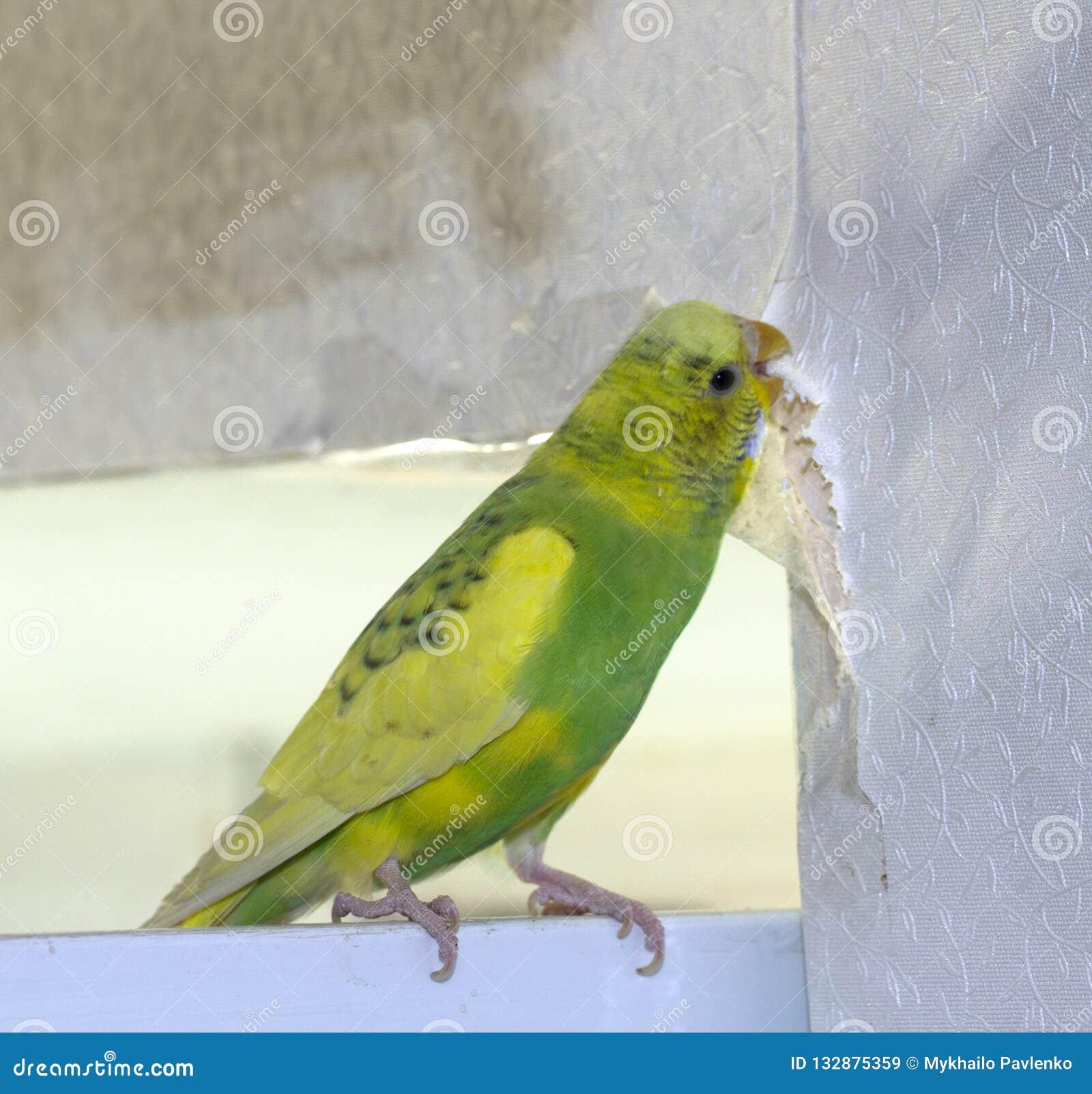 Den lilla gula gröna krabba papegojan som sitter på en filial, gnag revor skrapar väggen och att orsaka skada för att skyla över