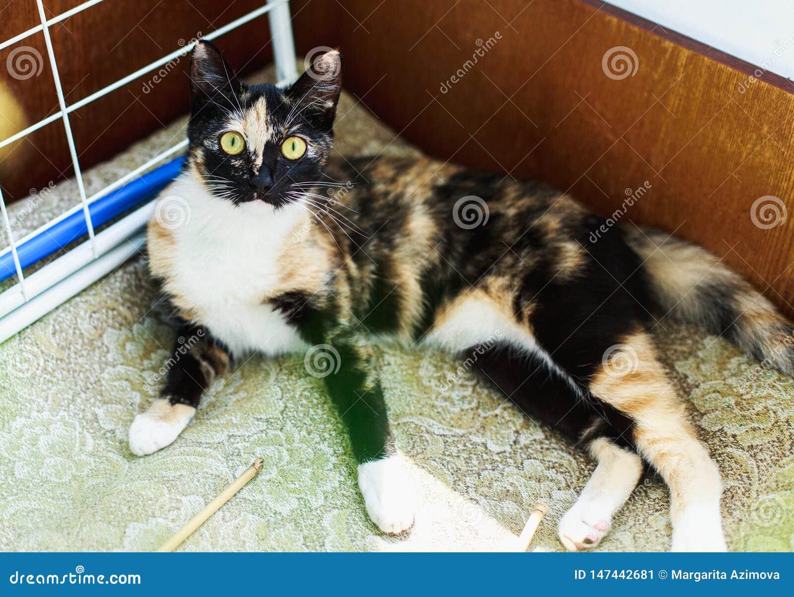 Den lilla gulliga fluffiga strimmig kattkattungen ligger på golvet lazily i ett ljust hyr rum på våren eftermiddag och att se kam