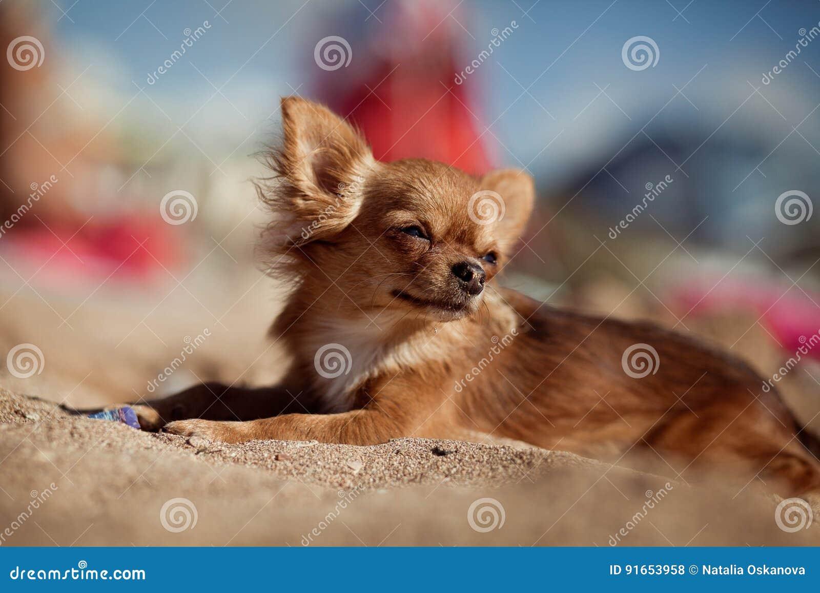 Den lilla hunden ligger på stranden