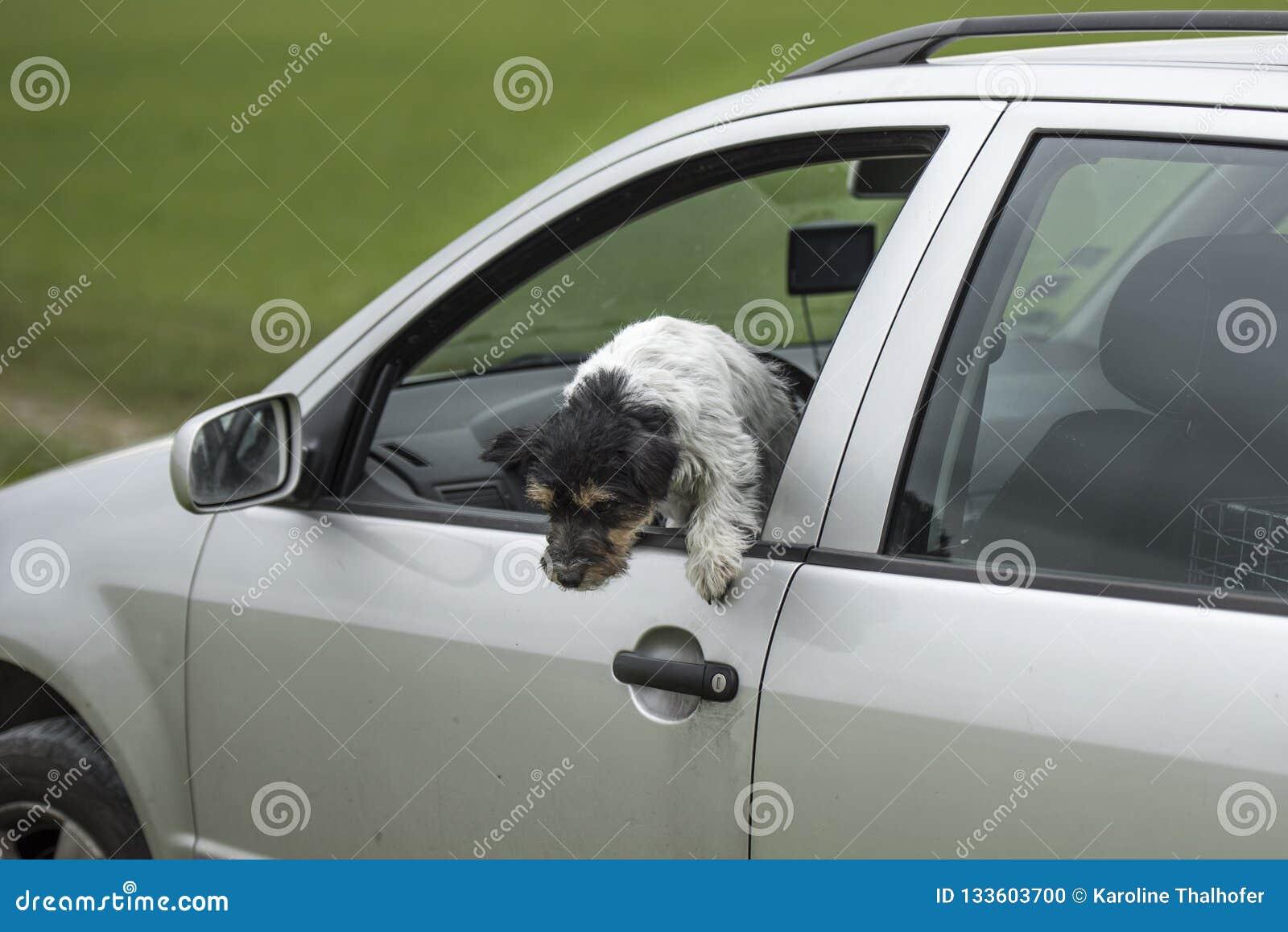 Den lilla hunden ser ut ur bilfönstret - den stålarrussell terriern