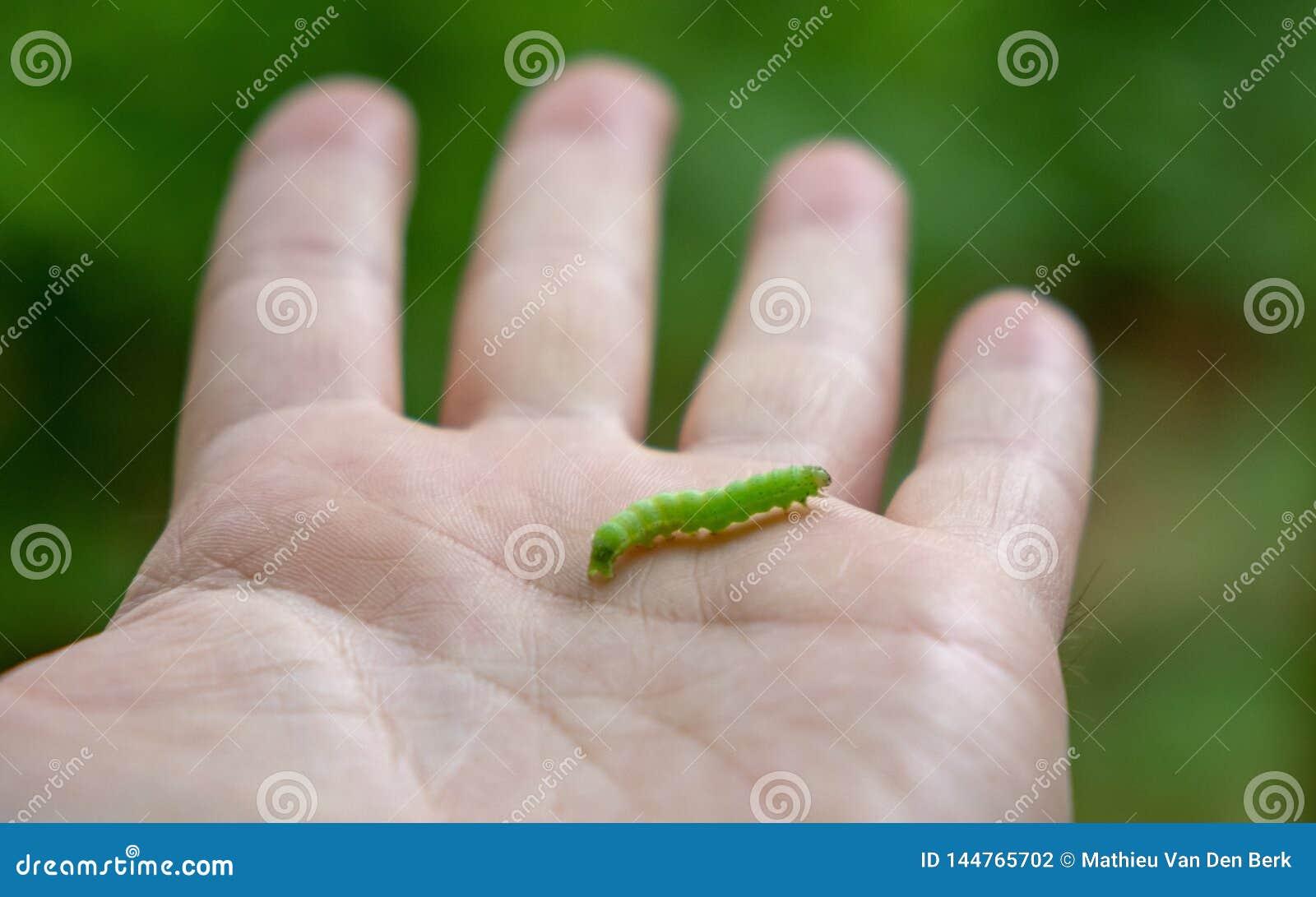 Den lilla larven på en mans handwitrh blir grund djup
