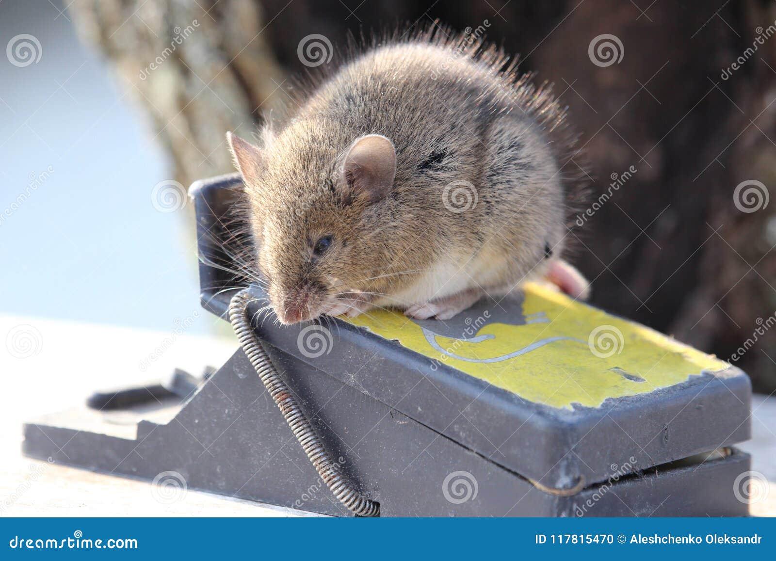 Den lilla musen sitter på en råttfälla