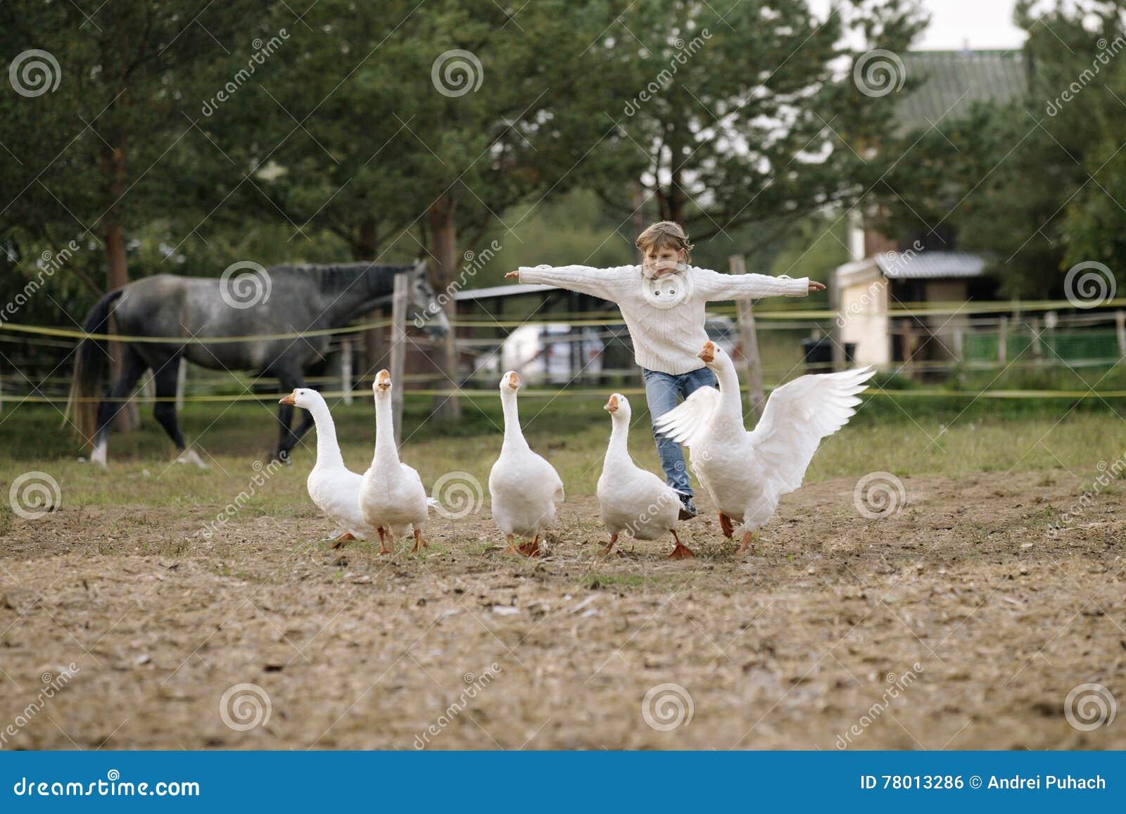 Den lilla roliga unga flickan i den vita tröjan kör en flock av gäss som förvisar hans händer in mot Livsstilstående