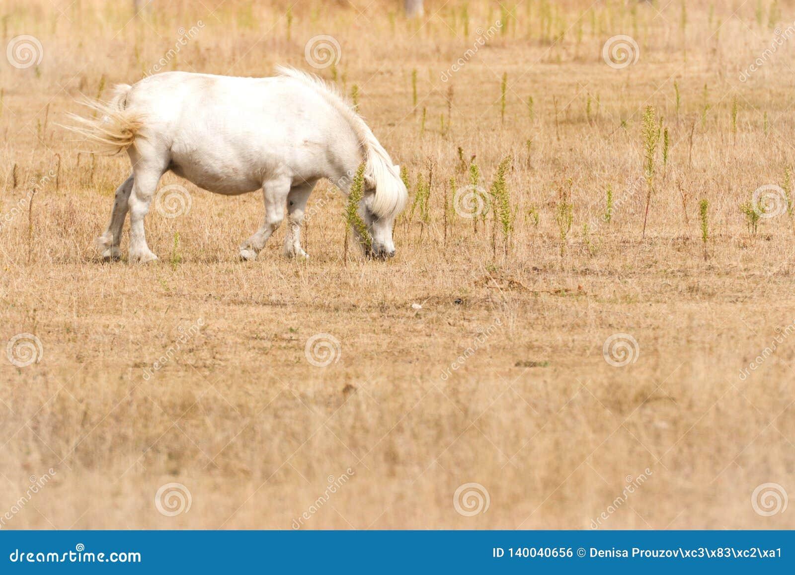 Den lilla vita ponnyn betar på