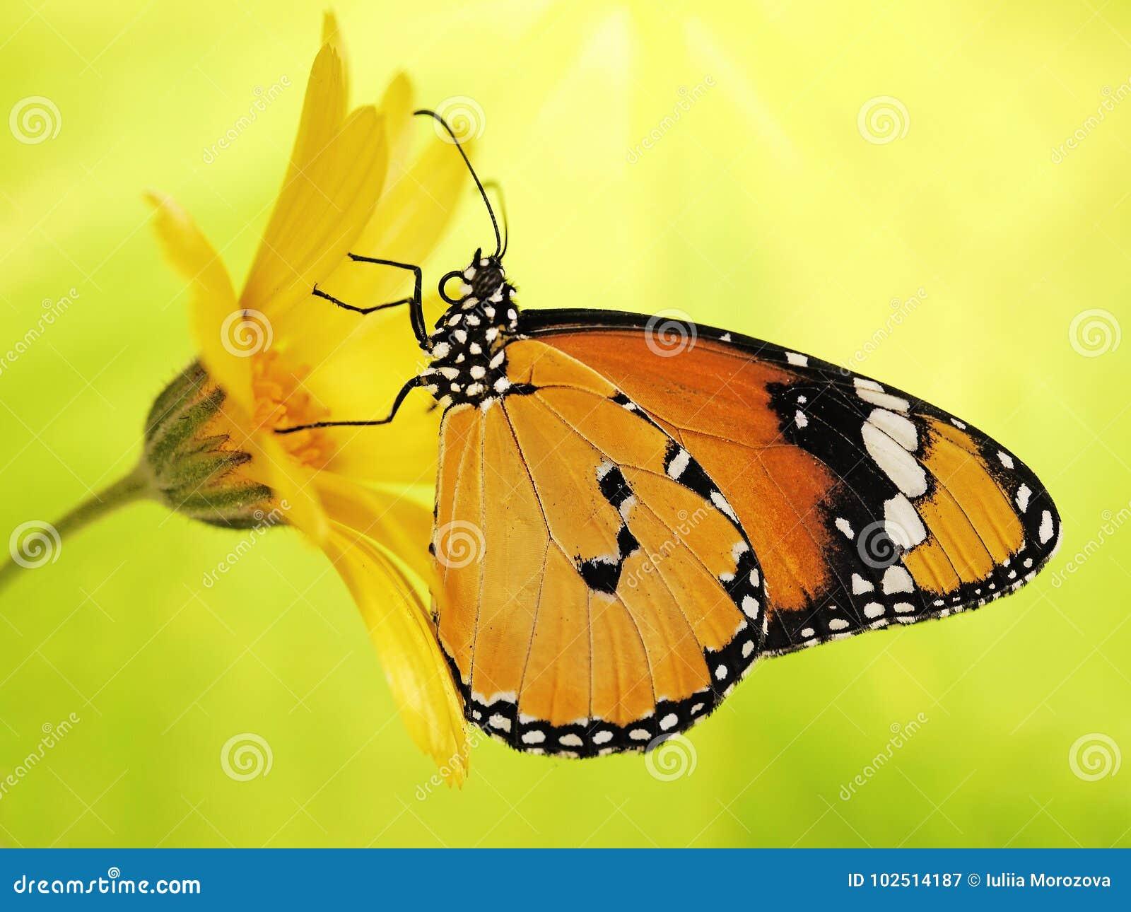 Den ljusa fjärilen för apelsinslätttigern, Danauschrysippusen, på en ringblommablomma på guling och gräsplan blured bakgrund