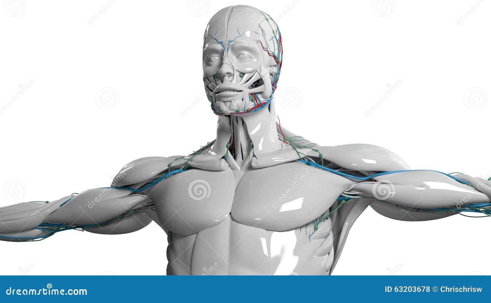 Den mänskliga anatomiframsidan och torson i porslin avslutar sig på vanlig vit bakgrund