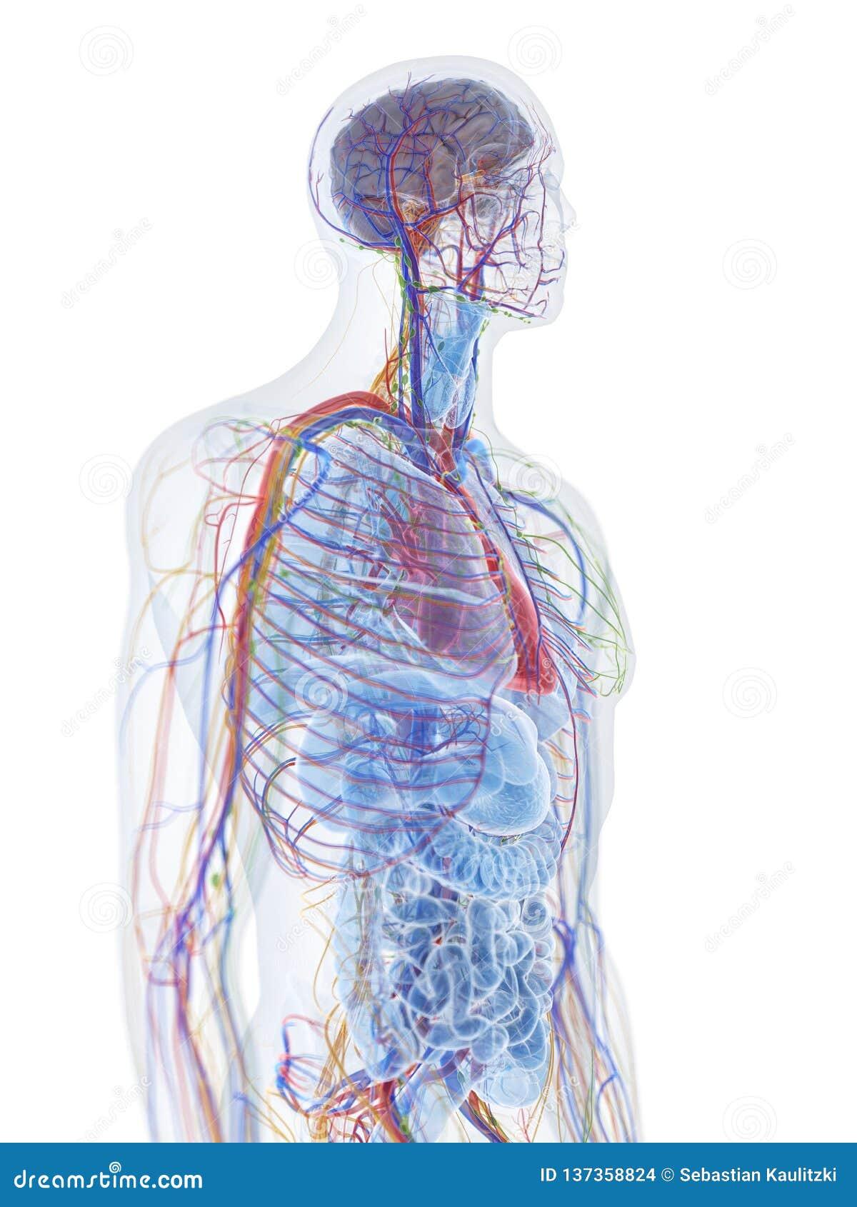 Den mänskliga anatomin