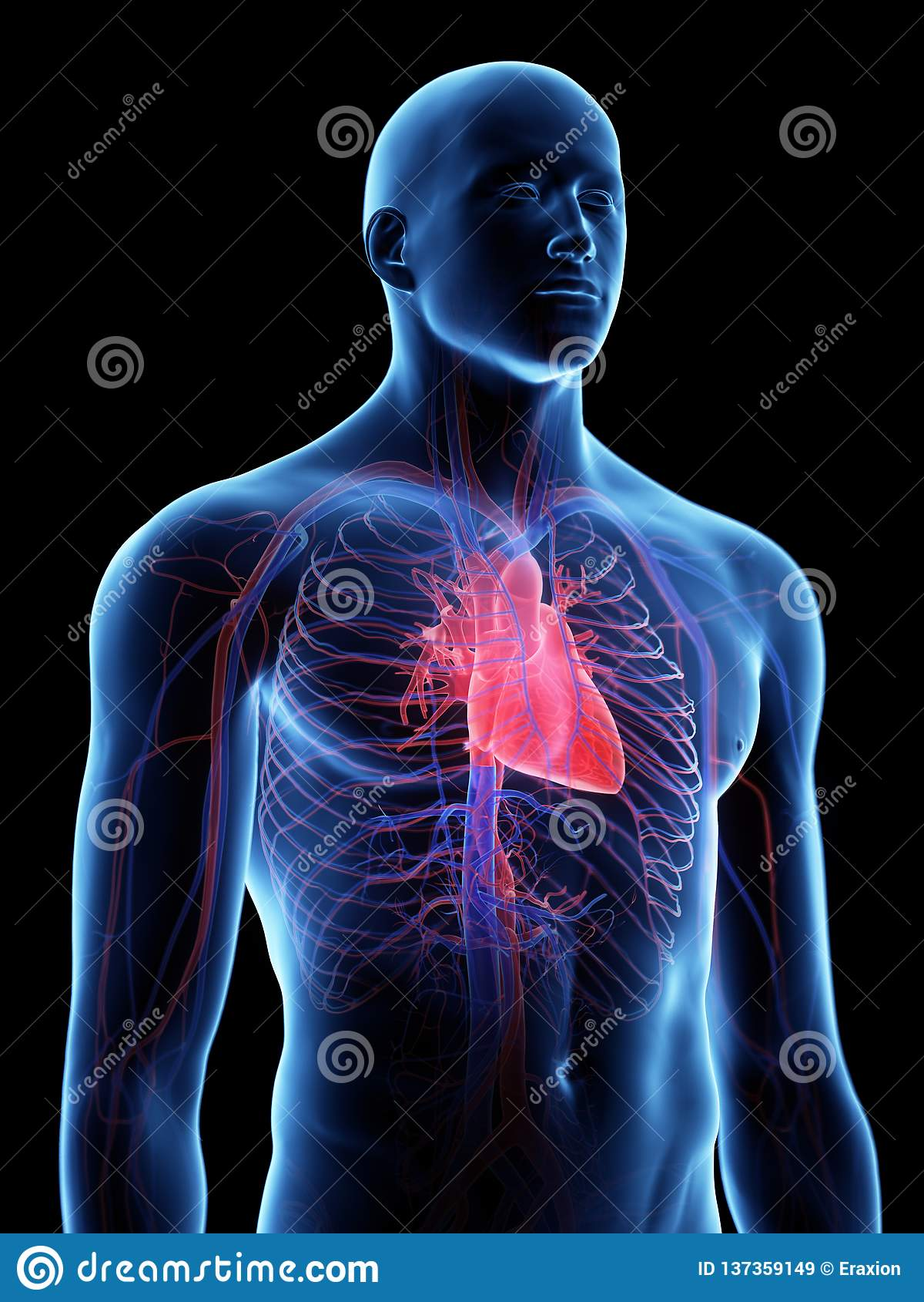 Den mänskliga hjärtaanatomin