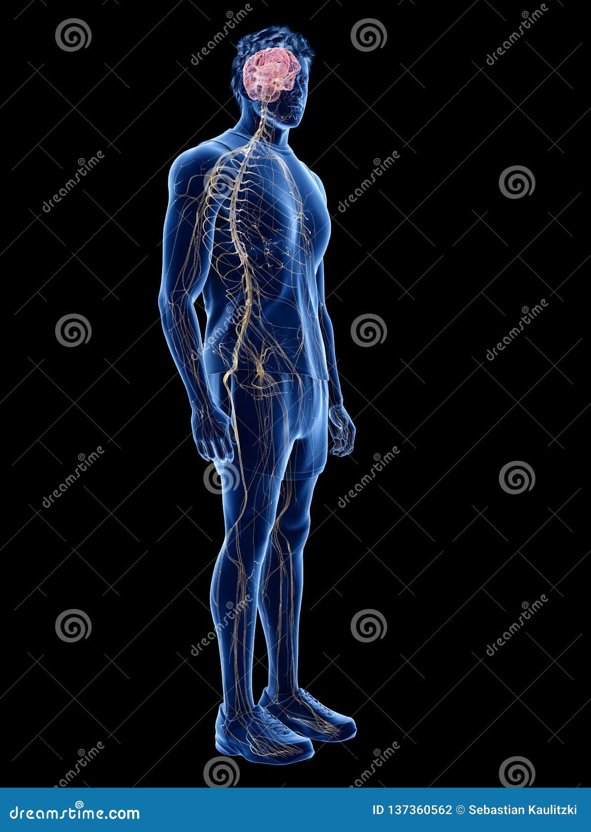 Den mänskliga nervsystemet