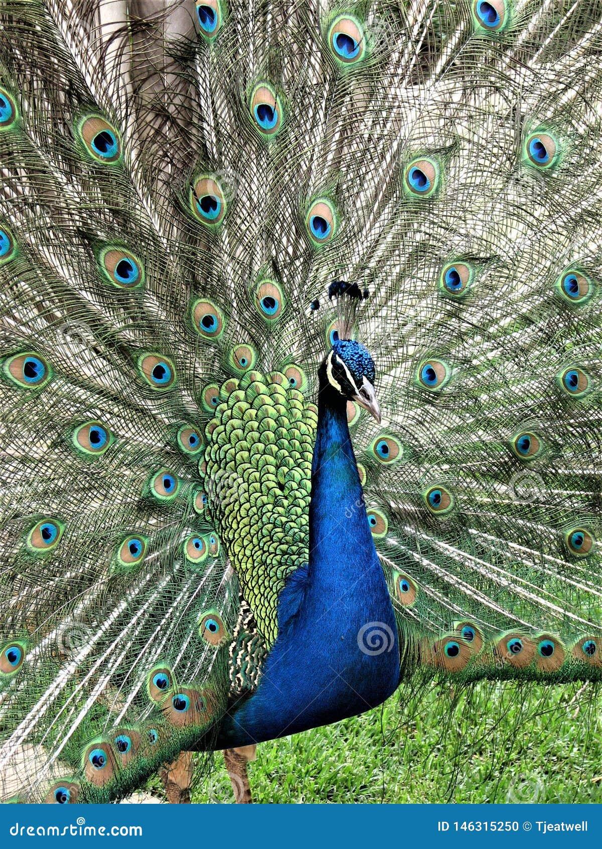 Den manliga påfågeln med fjädrar fördelade ut