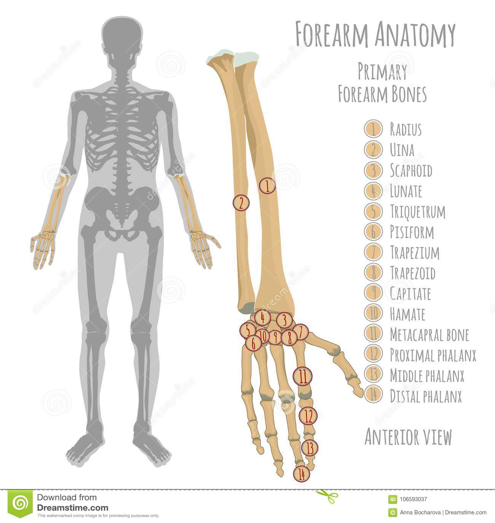 Den manliga underarmen benar ur anatomi
