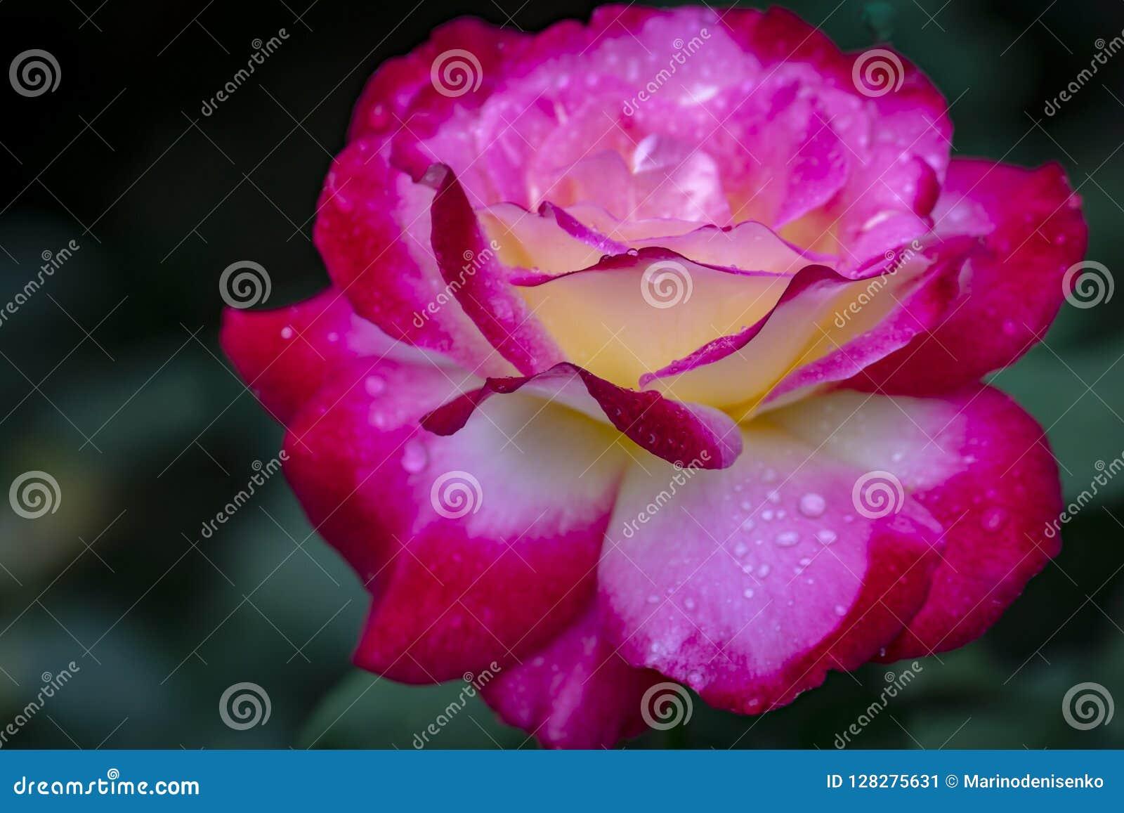 Den mjuka makroen av erbjuder rosa dubbel fröjd Röda kronblad täckas med regndroppar eller morgondagg Dagsljus