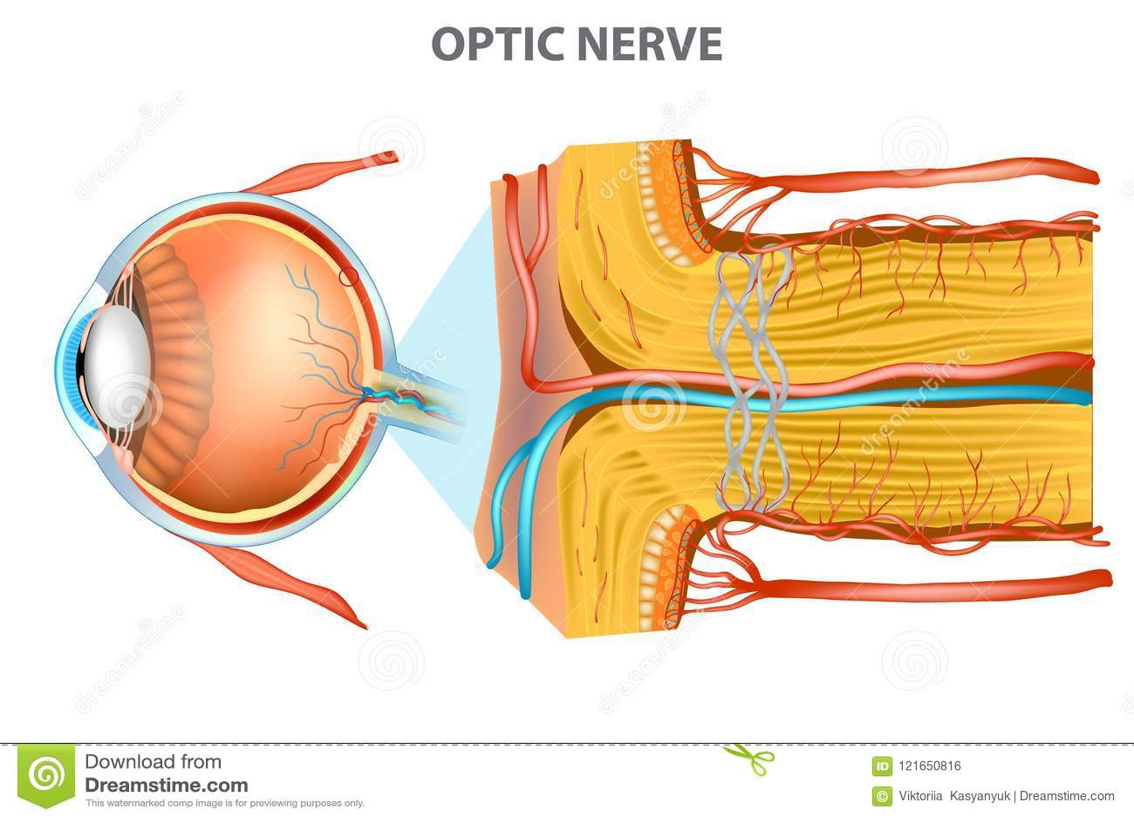 Den optiska nerven