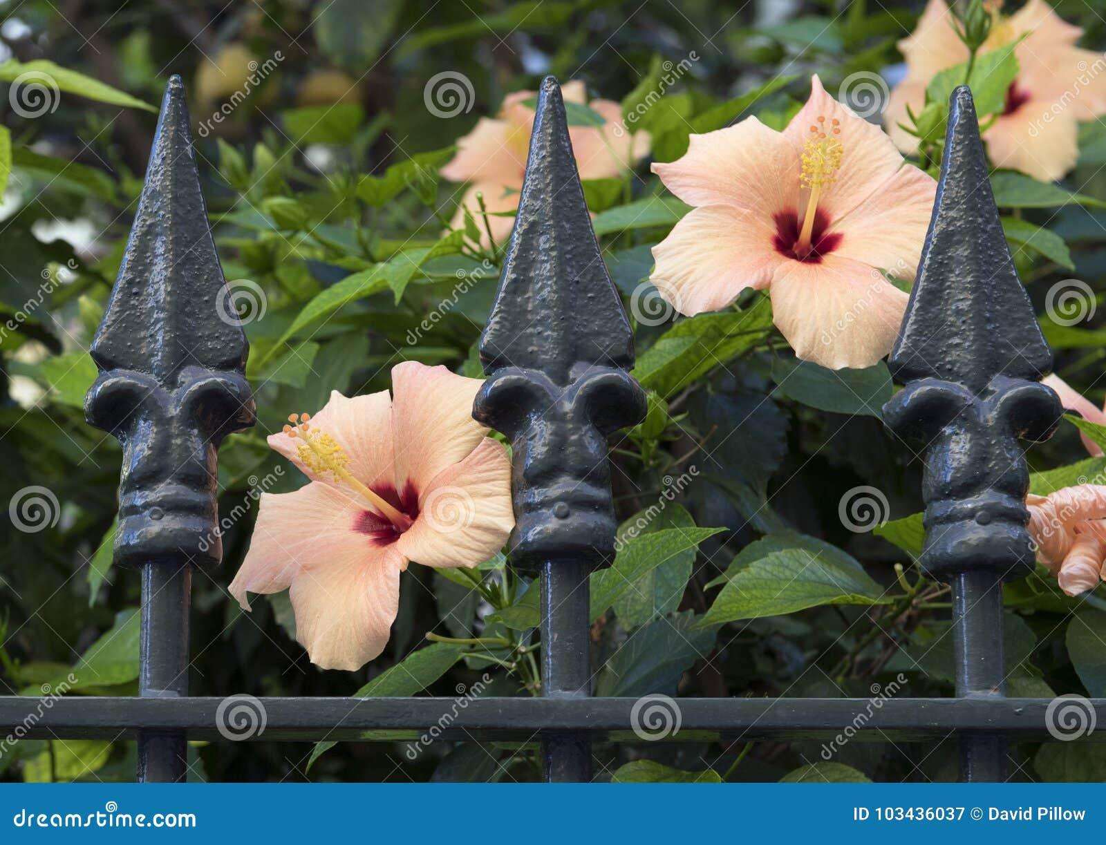 Den orange hibiskusen blommar bak ett utsmyckat staket för metall i Sorrento, Italien