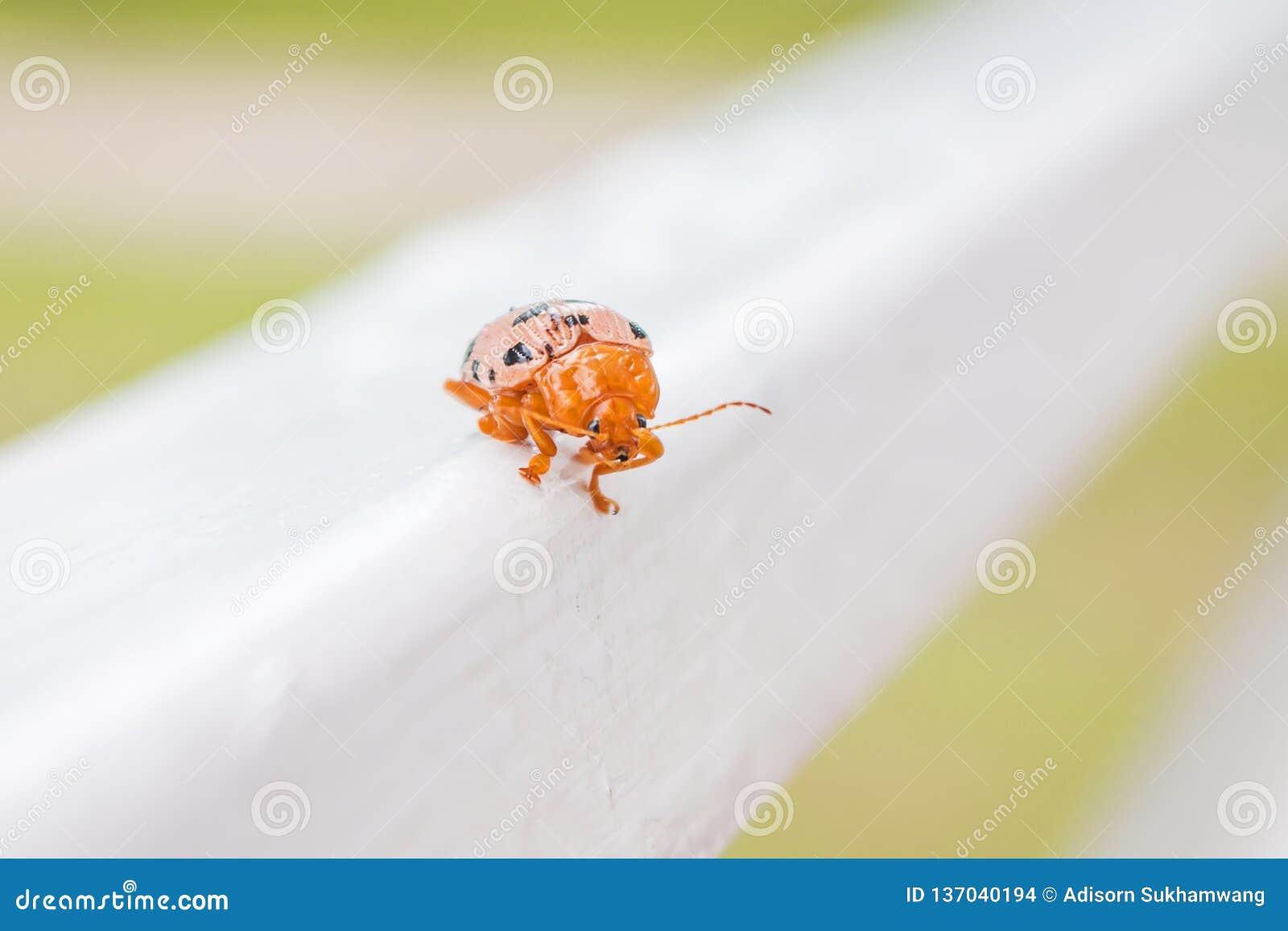 Den orange nyckelpigaskalbaggen irrar på hal jordning
