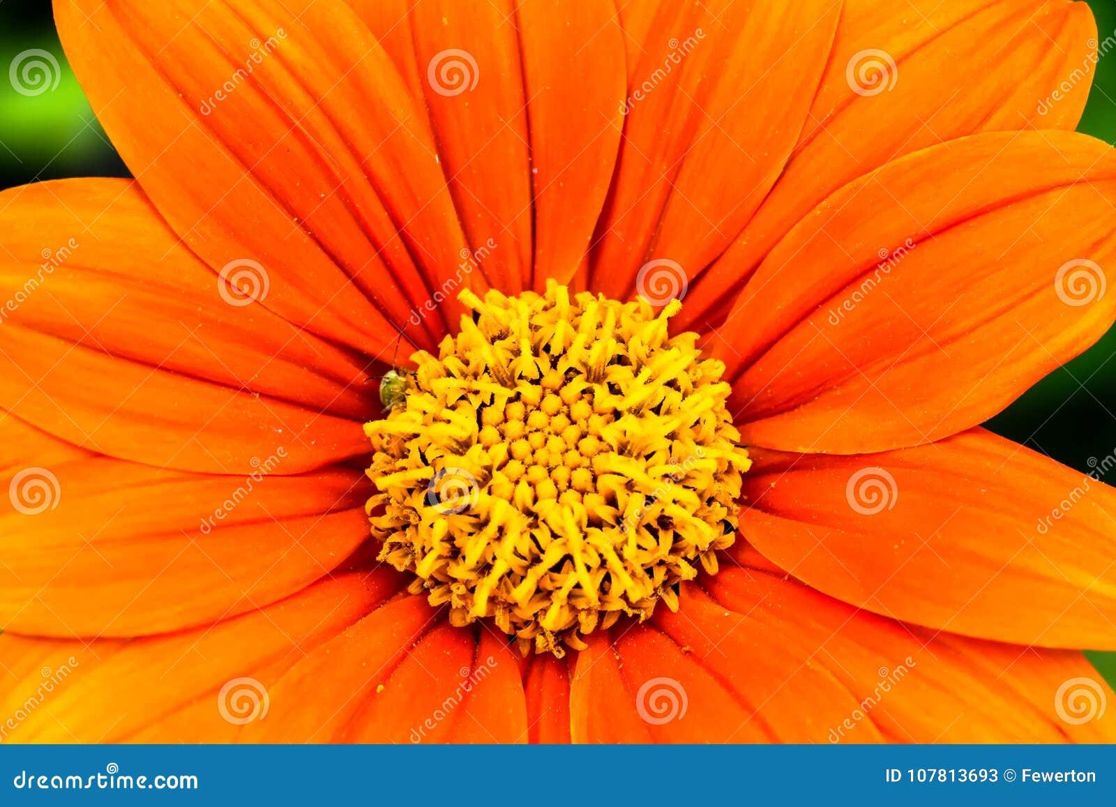 Den orange Tithonia för den mexicanska solrosen rotundifoliaen eller fotoet för makro för blomma för `-FiestaDel Sol ` med att be