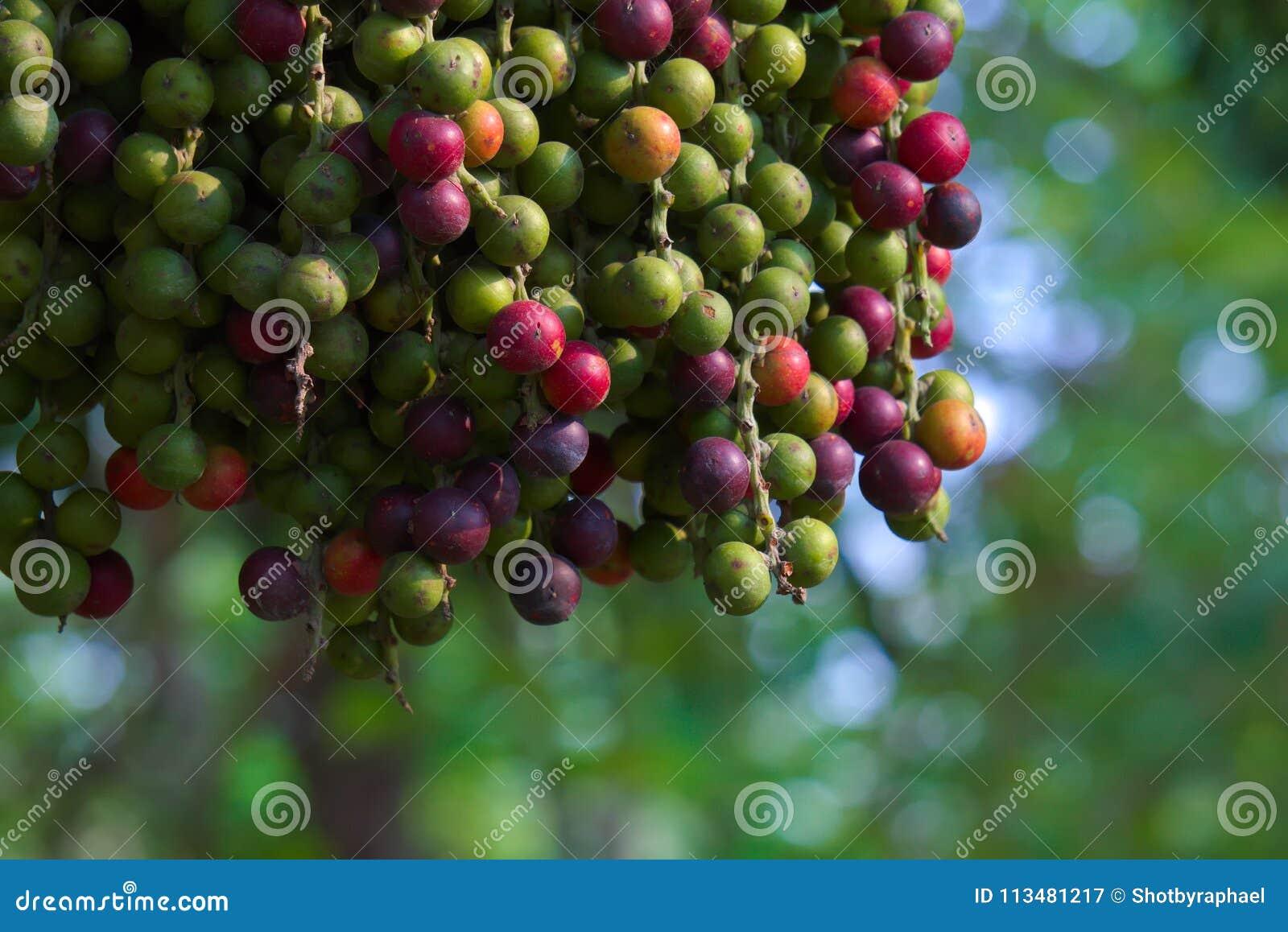Den ovanligt härliga platsen av en hängande grupp av lilor och gräsplan gömma i handflatan frukter, med en fokal- bokehbakgrund,