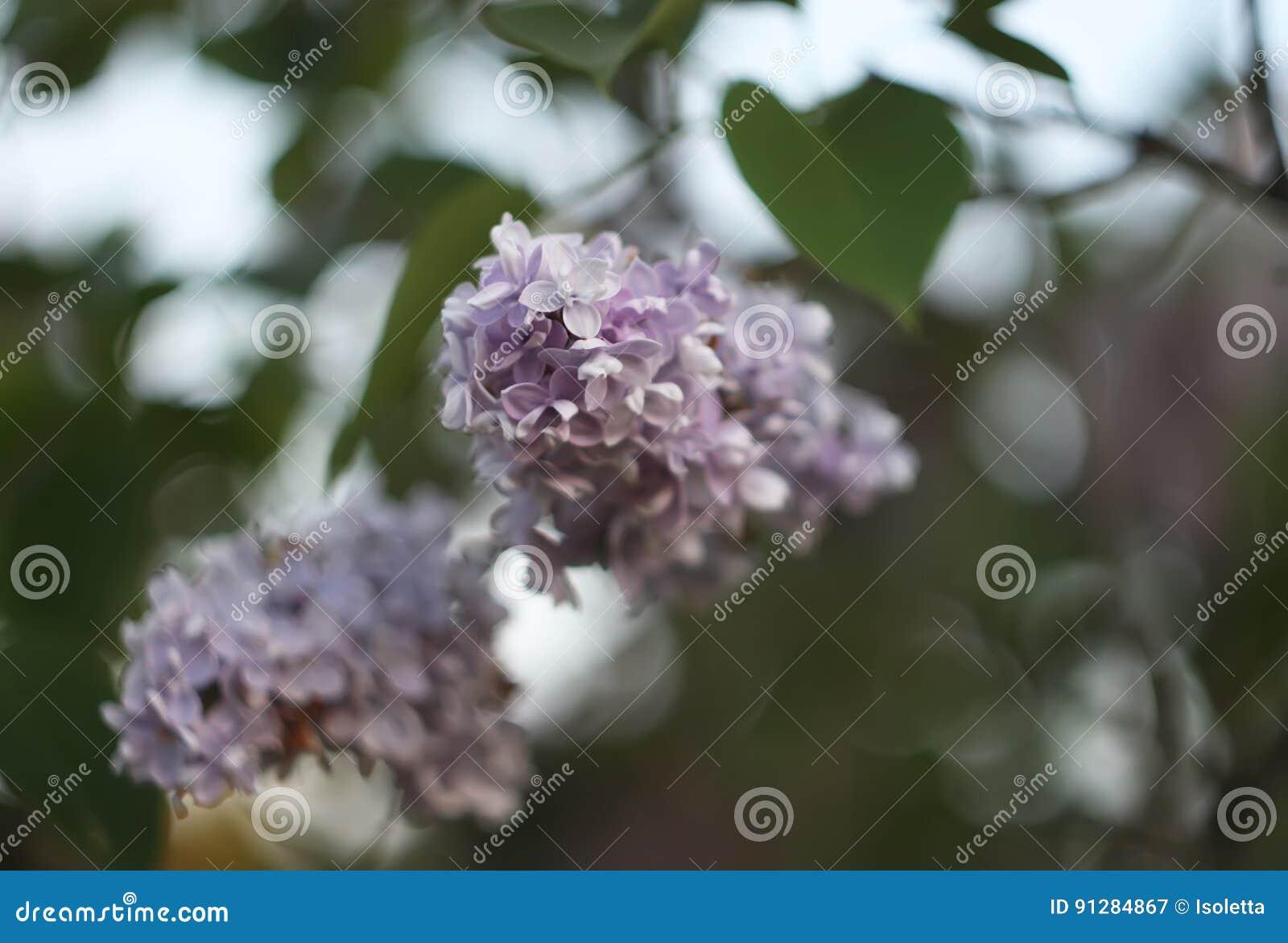 Den purpurfärgade lilan blommar utomhus