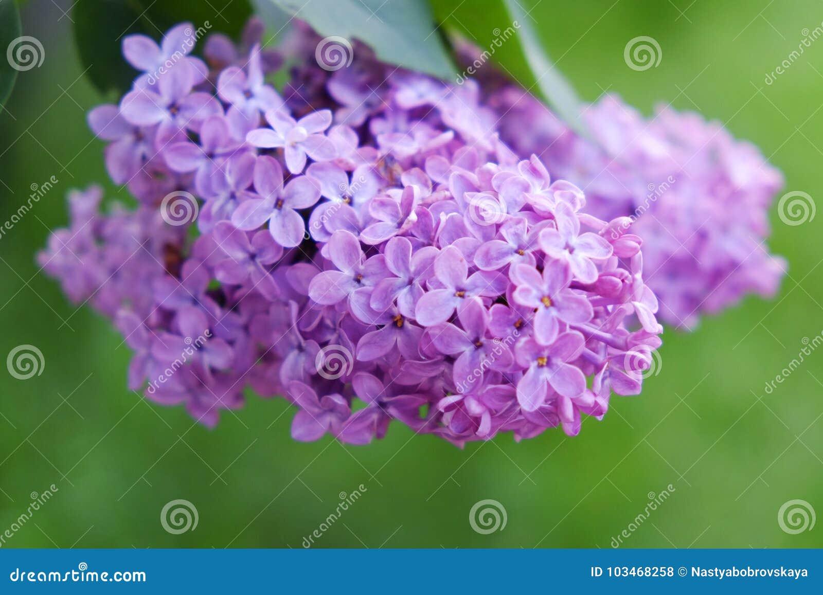 Den purpurfärgade lilan blommar utomhus i solen