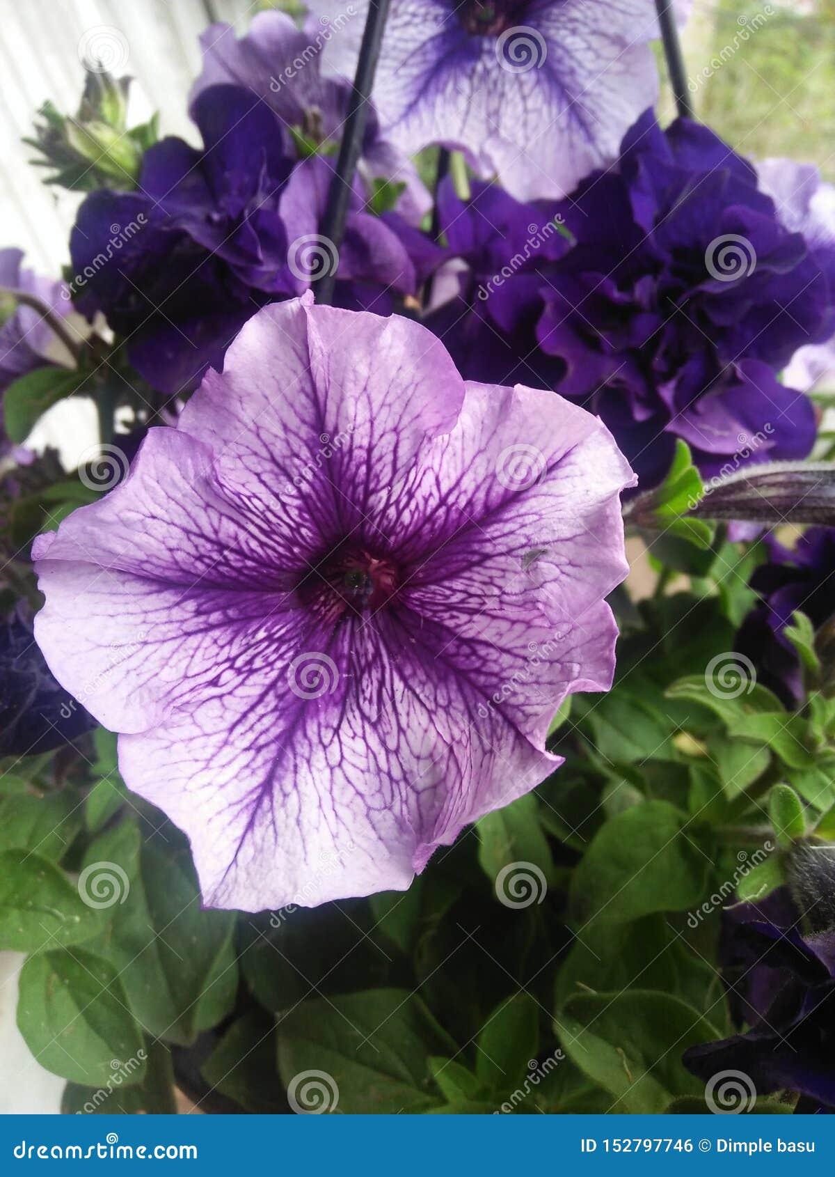 Den purpurfärgade petuniablomman på gröna sidor lagerför bild
