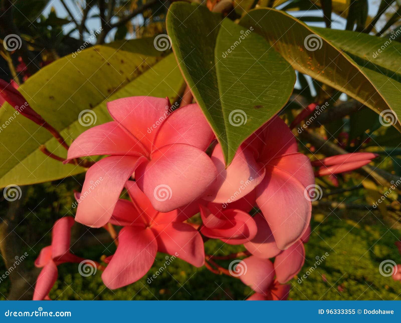 Den röda frangipanien blommar i komplexet av bostads- Pondok Candra, Sidoarjo, Indonesien