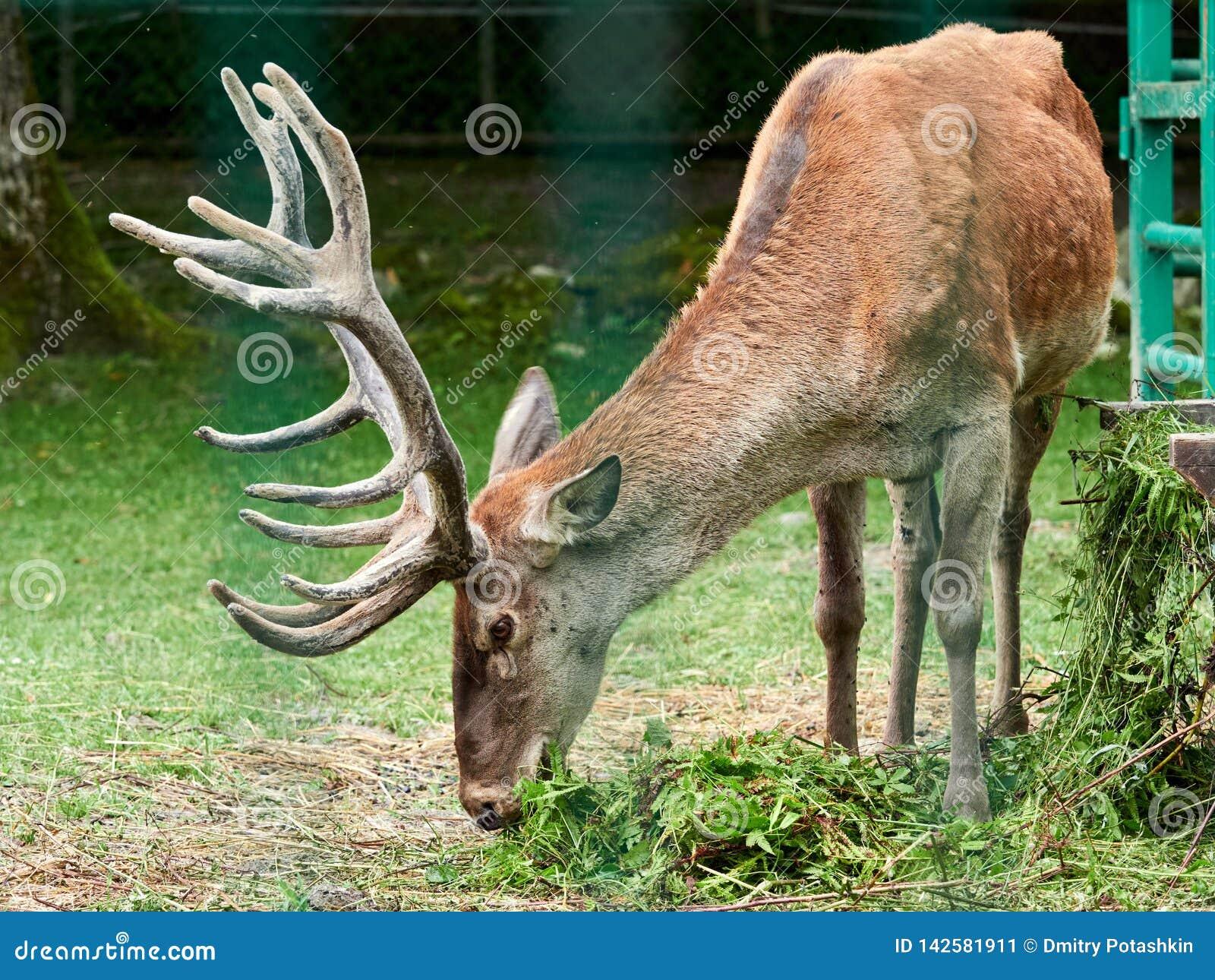 Den röda hjorten betar på en grön gräsmatta