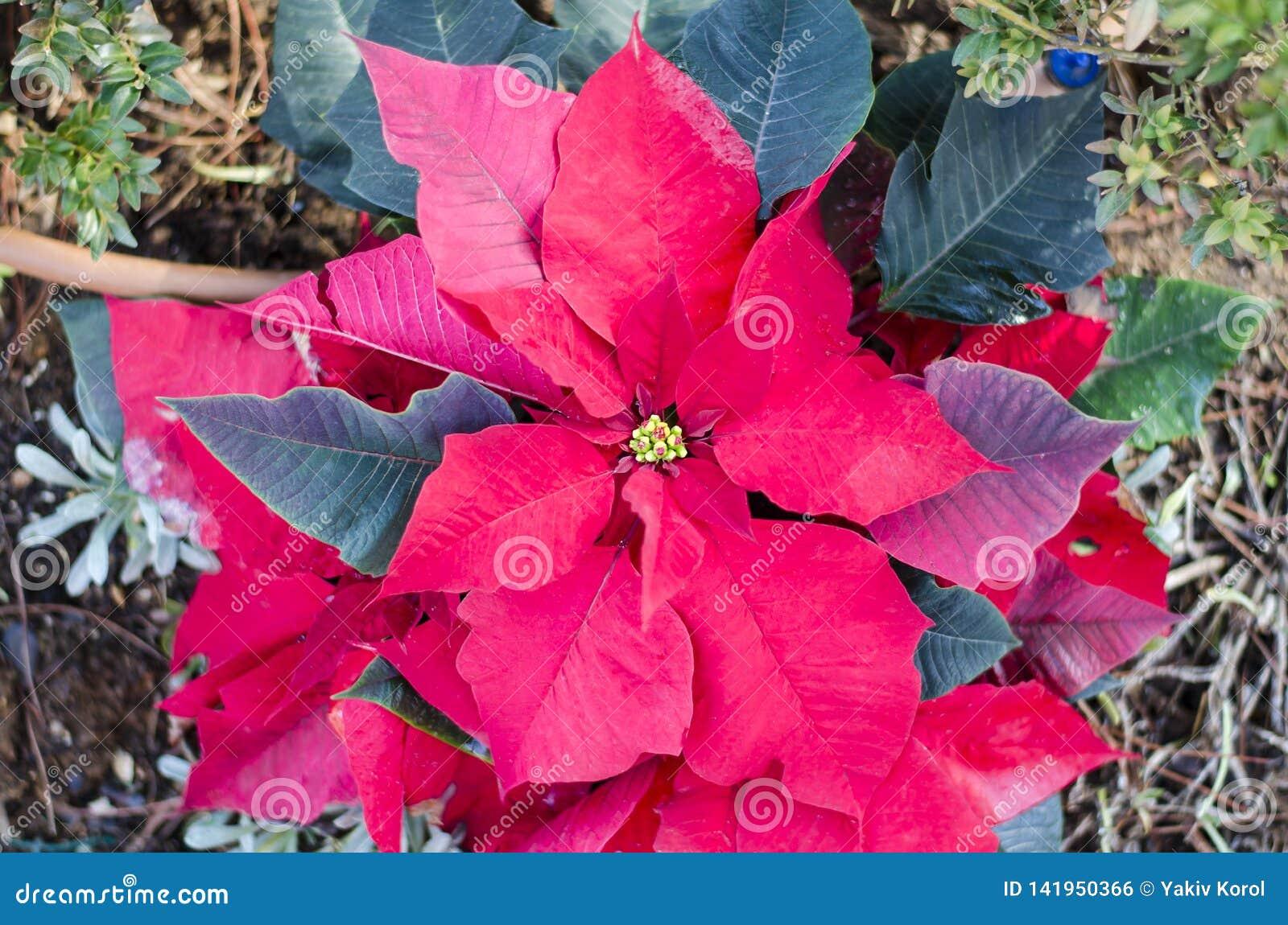 Den röda julstjärnablomman, Euphorbia Pulcherrima, Nochebuena jul blommar Athens Grekland