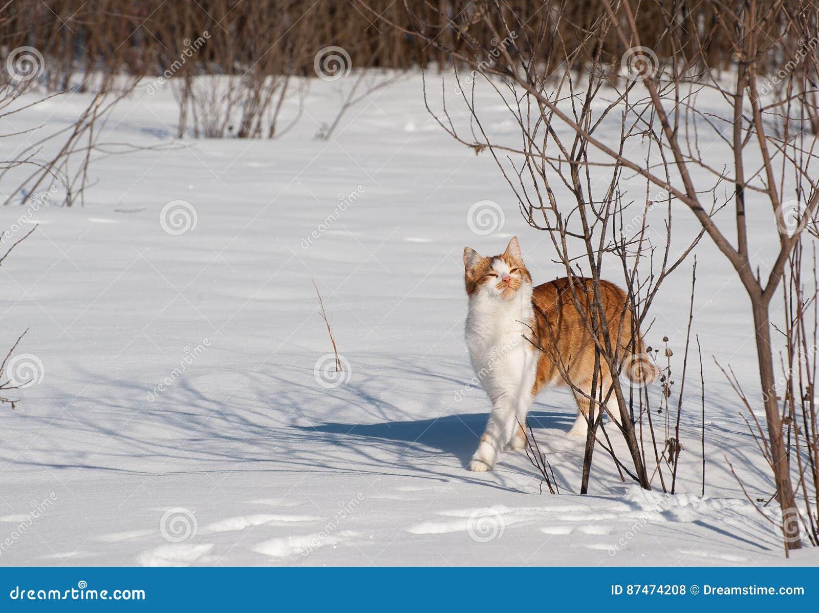 Den röda katten går vinter