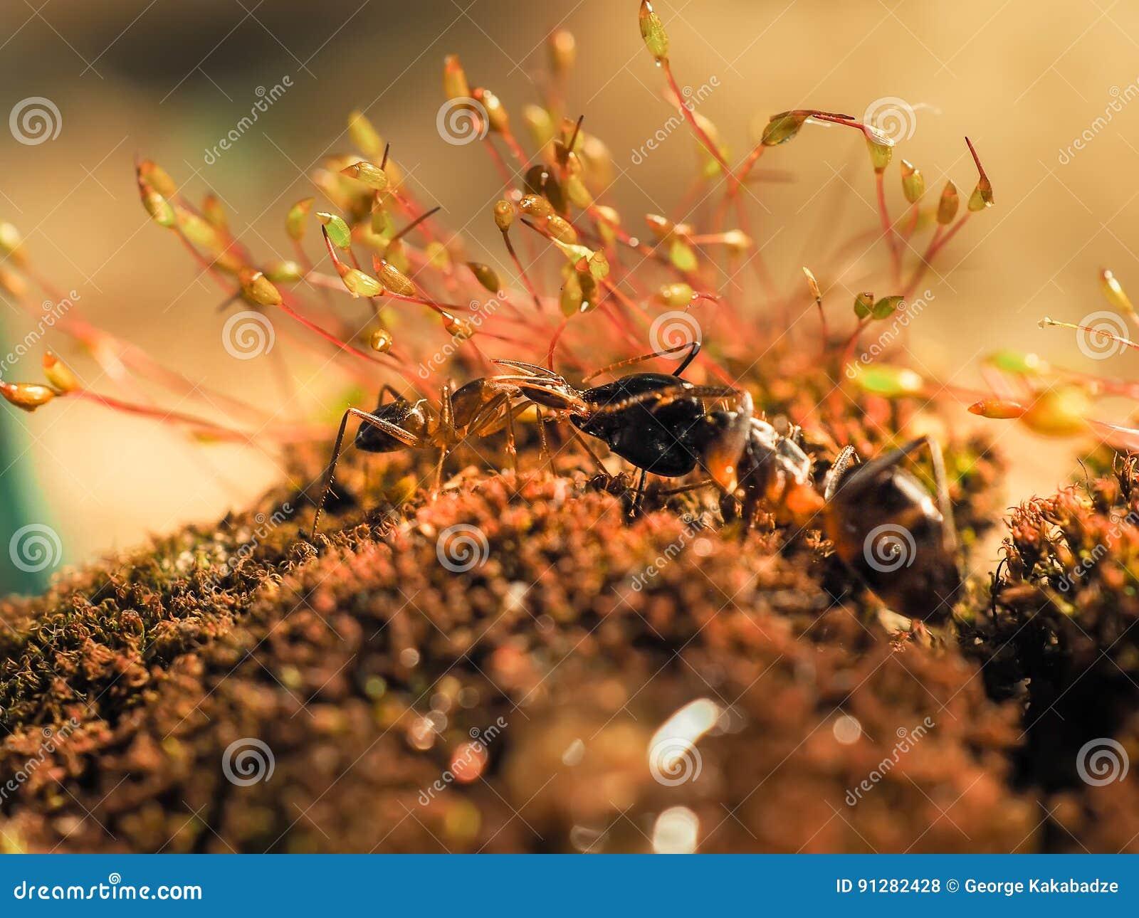 Den röda och svarta myran slogs på sidorna, myra