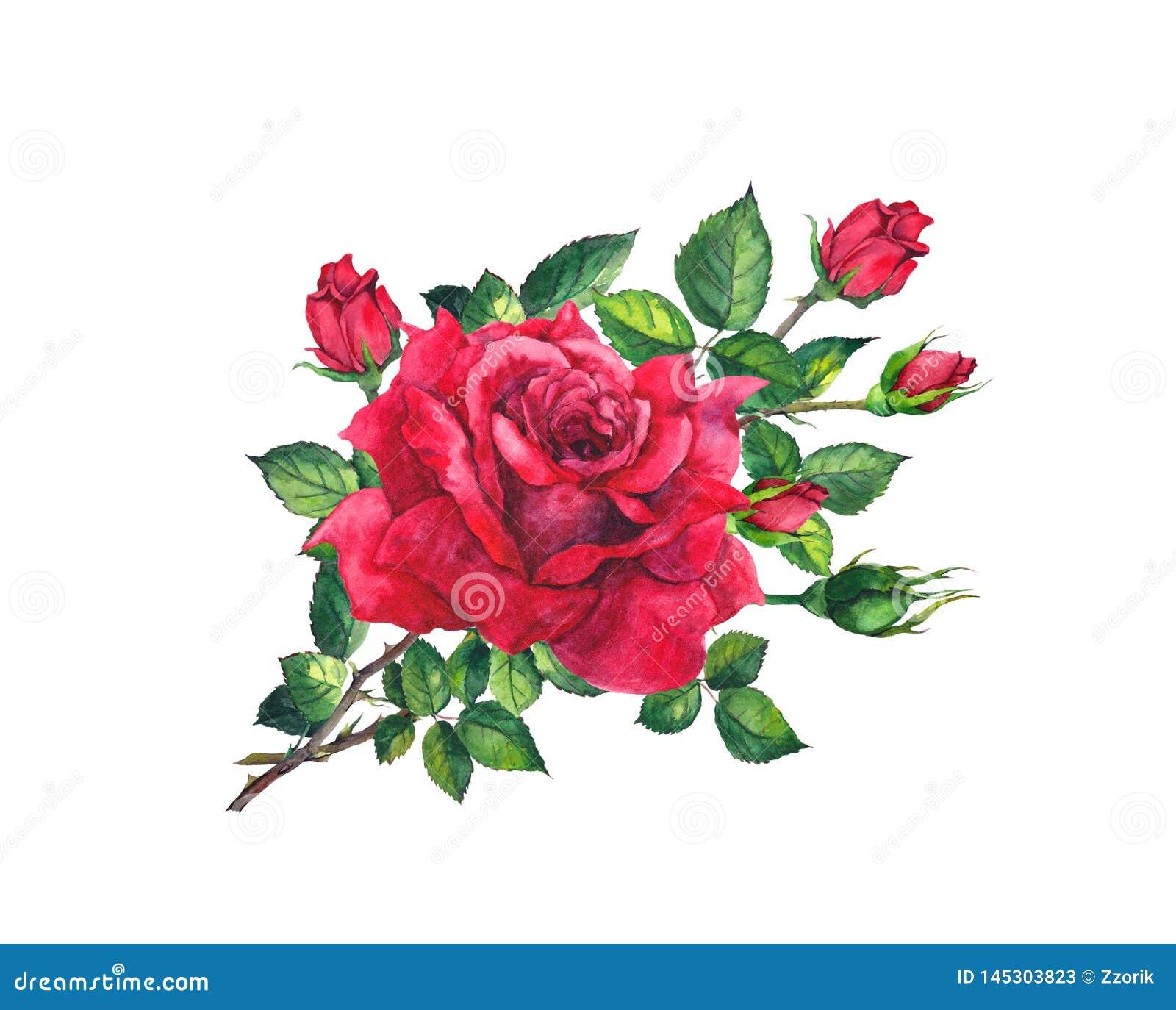 Den röda rosen fattar med blommor, sidor, knoppar Blom- blomma för vattenfärg