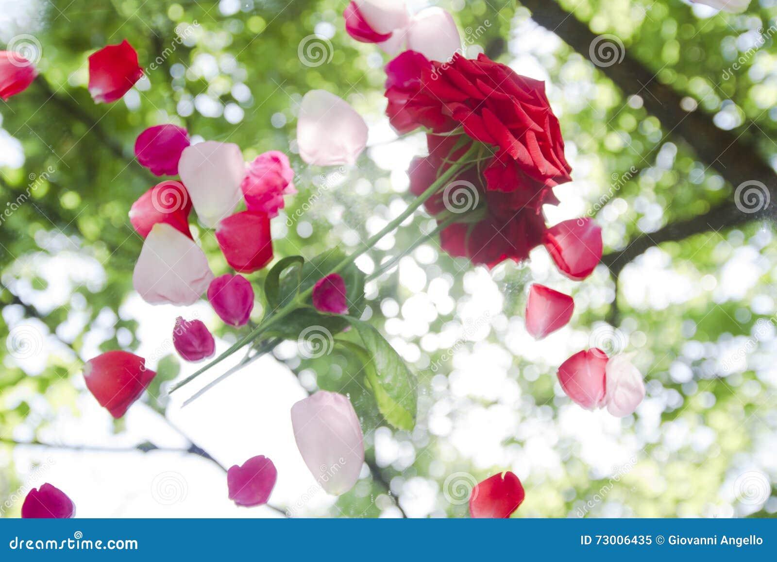 Den röda rosen med kronblad reflekterar