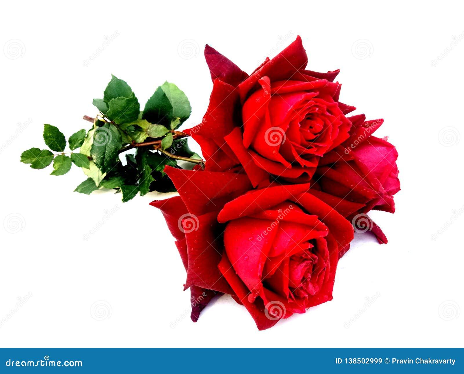 Den röda rosen steg isolerat på vit bakgrund