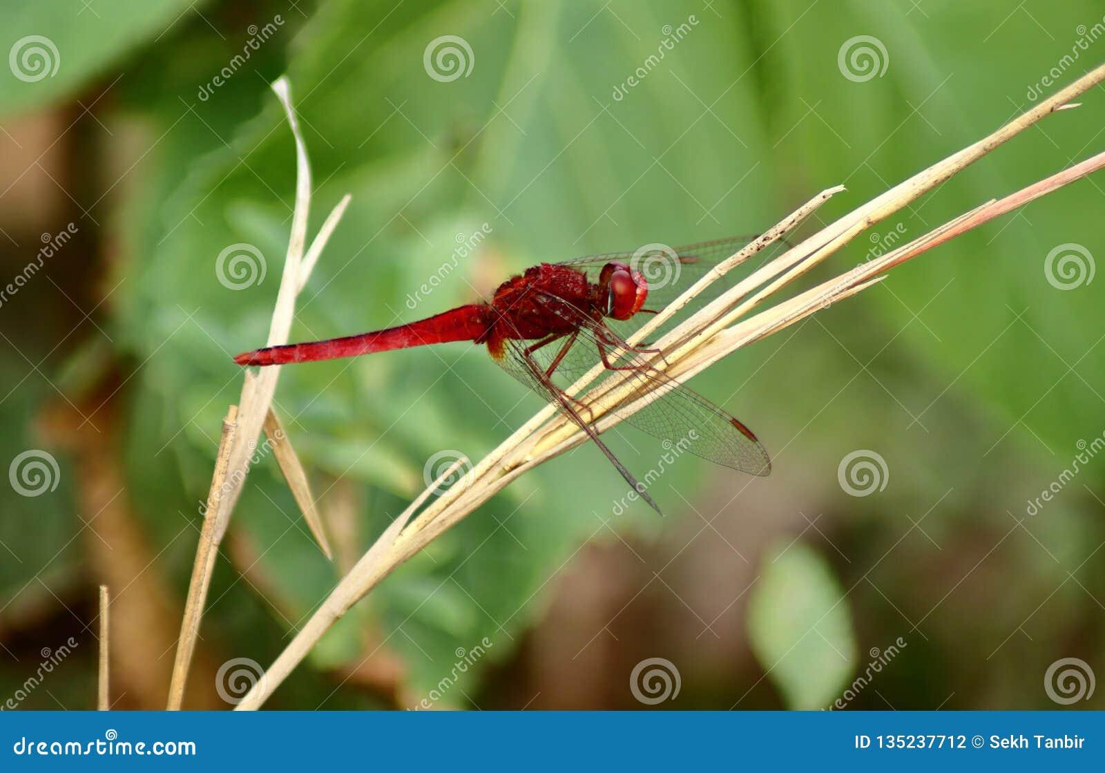 Den röda sländan sitter på det torra gräset