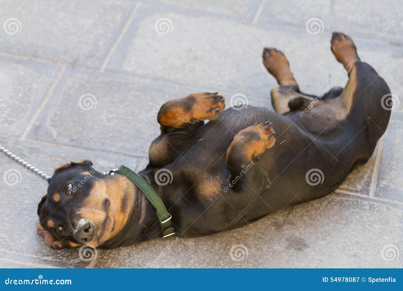 Den roliga hunden sover på hans baksida på vägen