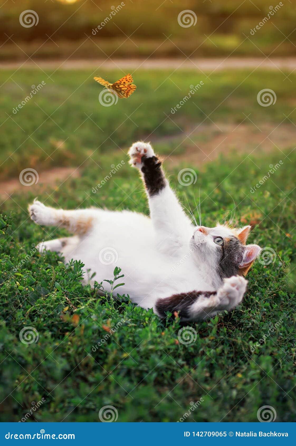 Den roliga vita feta katten ligger på en solig äng för sommar och fångar flyga som den orange fjärilen med dess tafsar på en klar