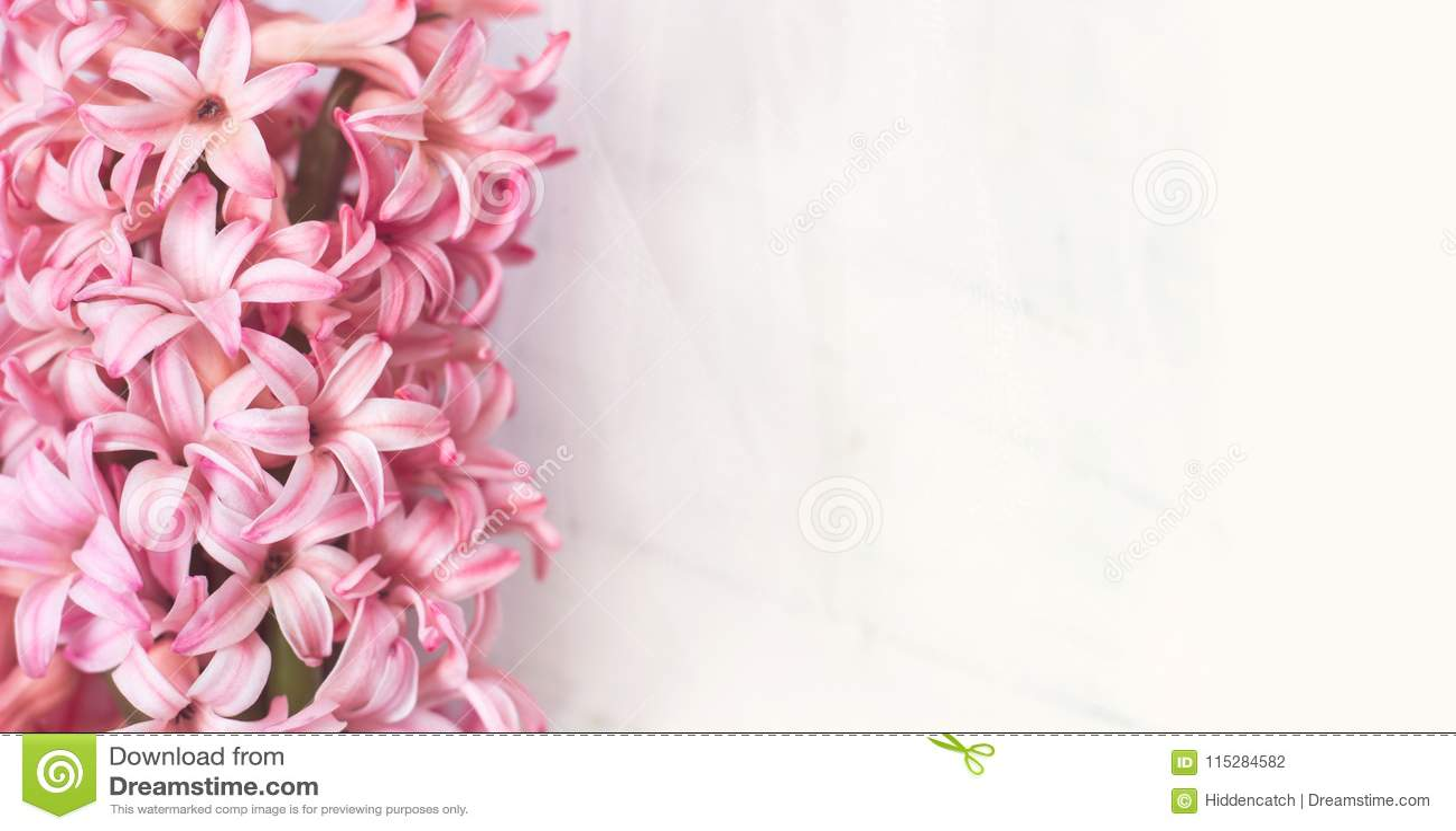 Den rosa hyacinten blommar på vit bakgrund, med kopieringsutrymme för y