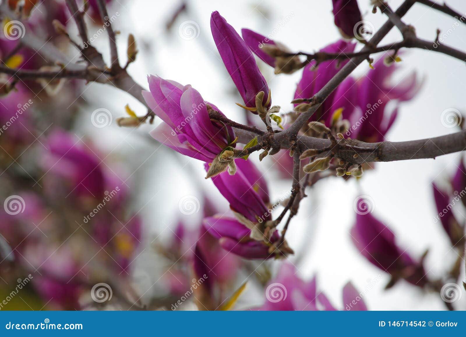 Den rosa magnoliatr?dblomman parkerar inget