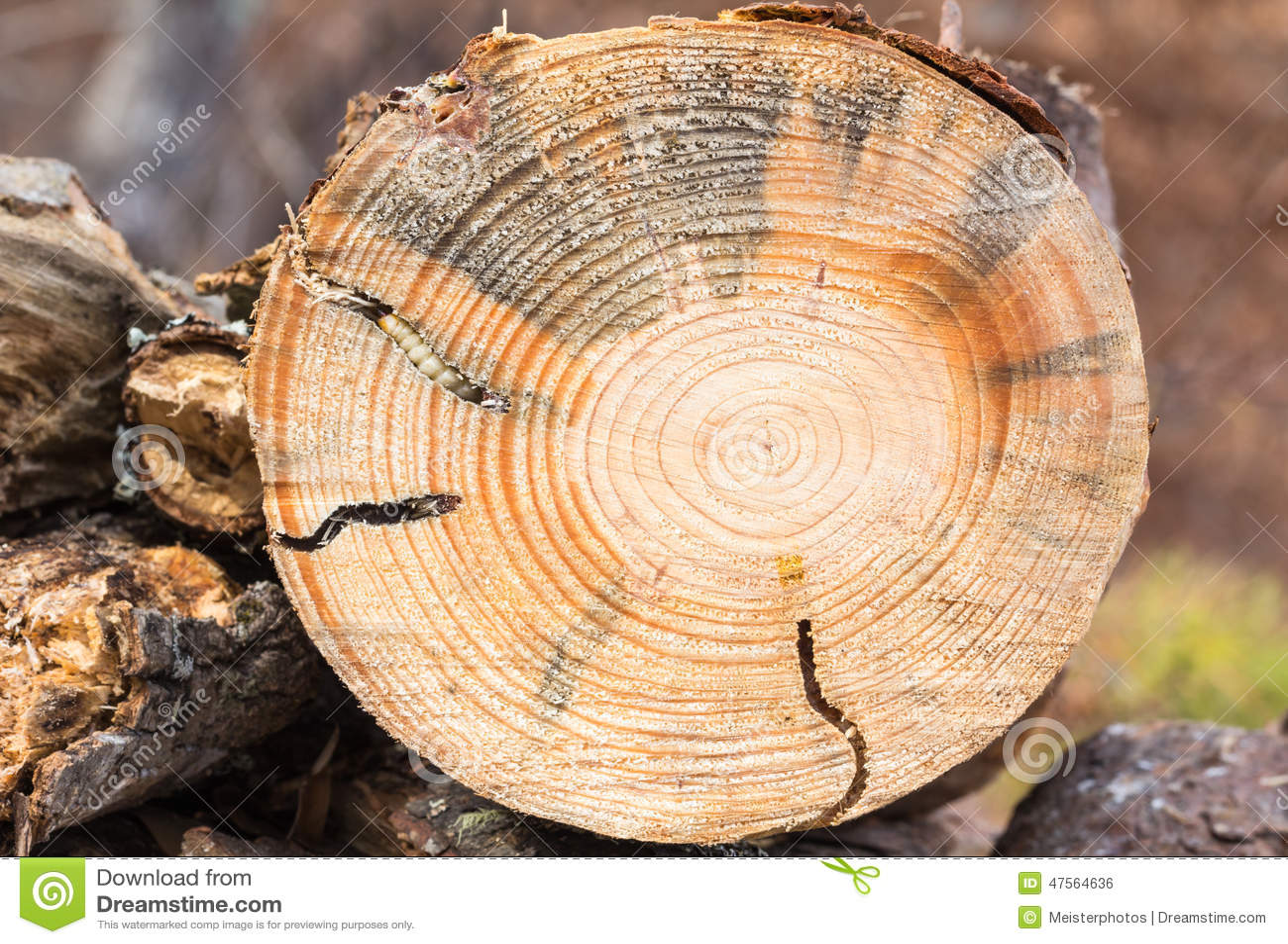 Den runda hövdade borrlarven sörjer in trä