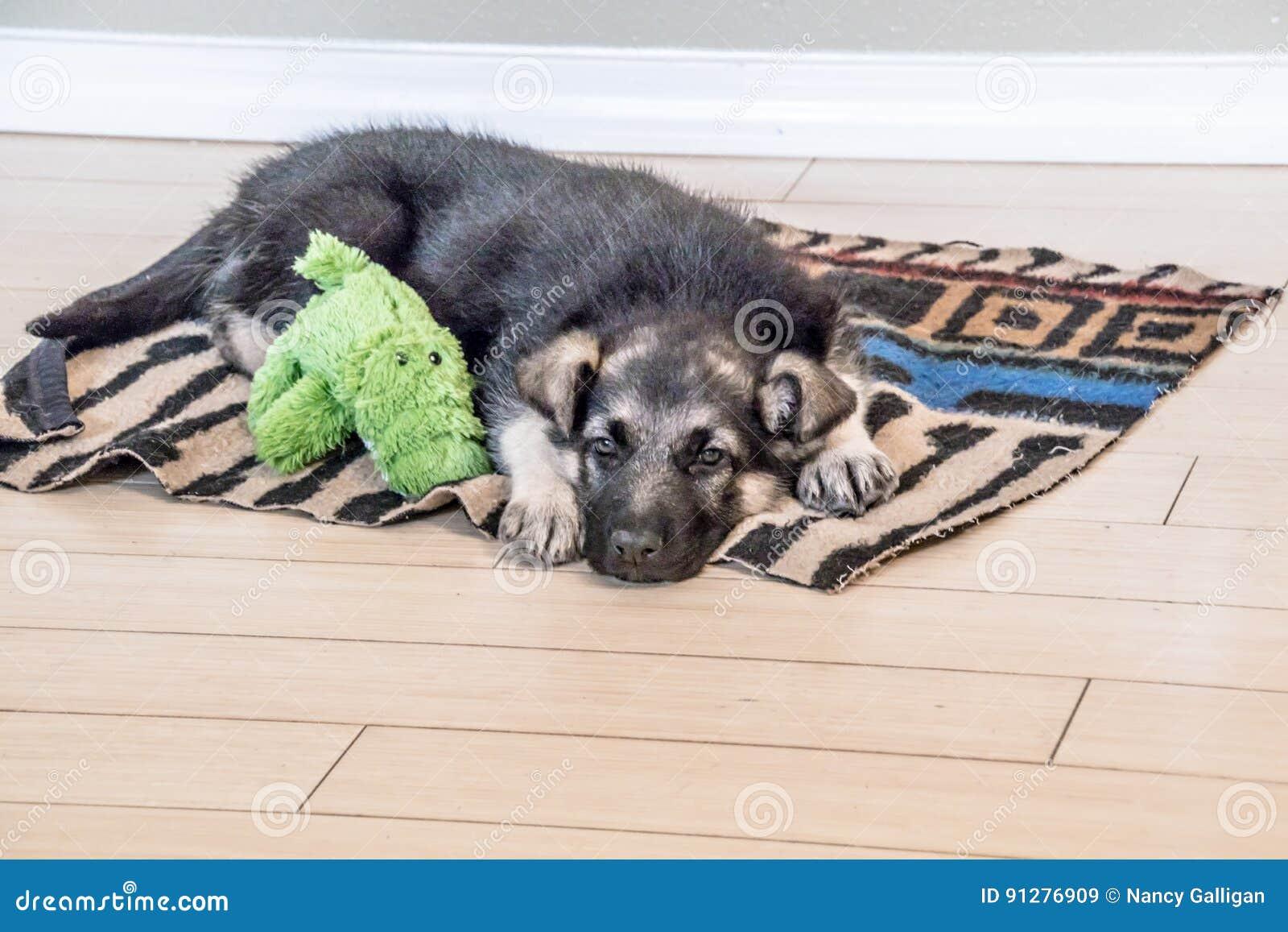 Den sömniga valpen och hans älsklings- ordnar till för en ta sig en tupplur
