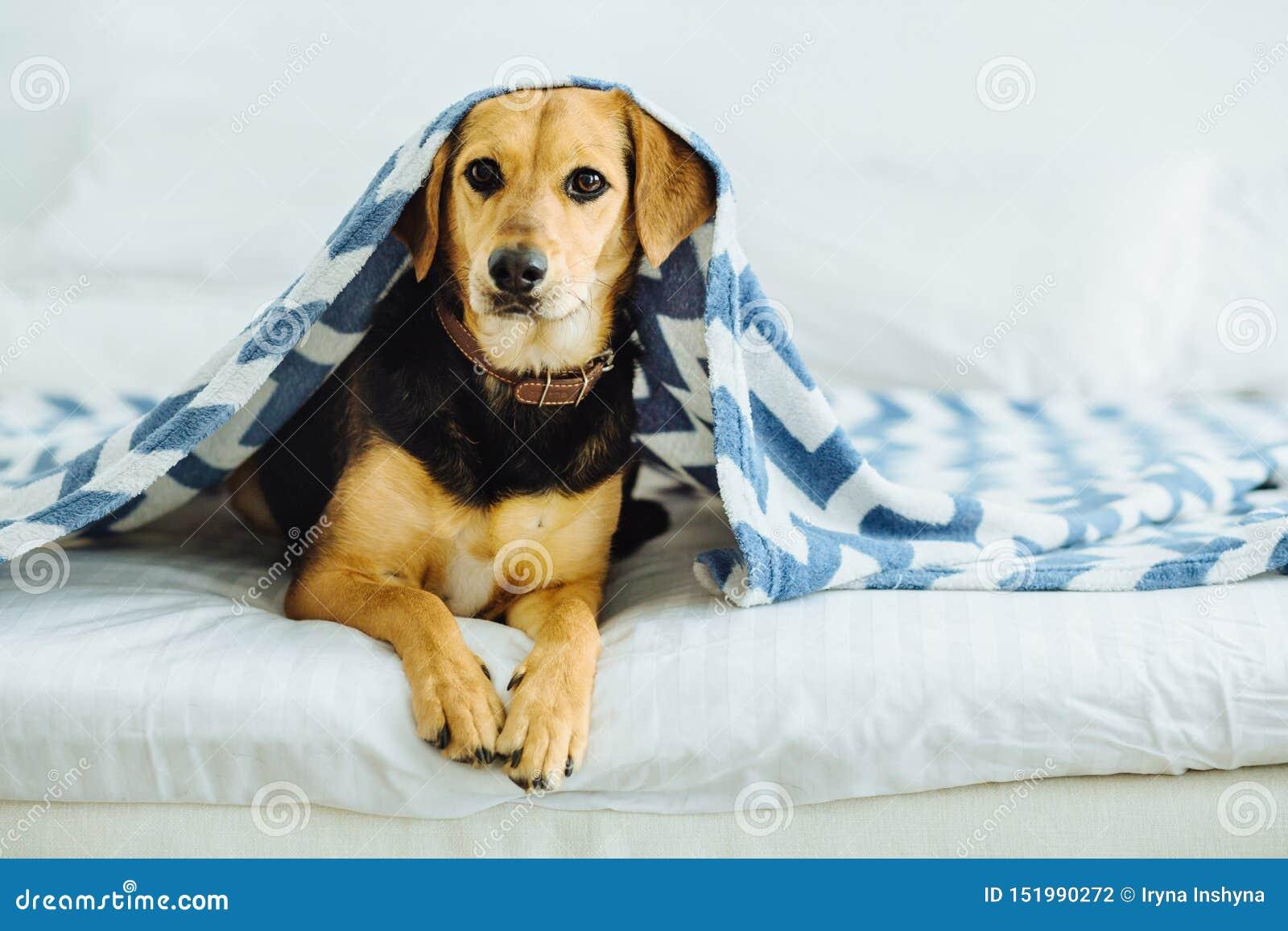 Den söta hunden kikar ut från under filtarna Husdjuret ligger på sängen Avslappnande och hemtrevlig hem- comcept