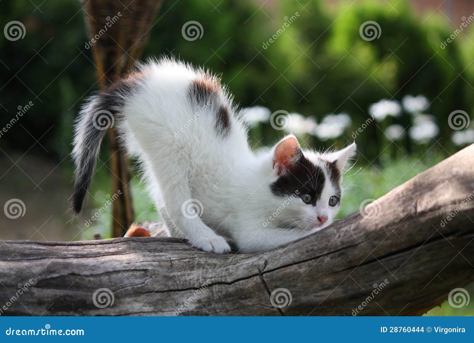 Den små vitkattungen som skrapar treen, förgrena sig
