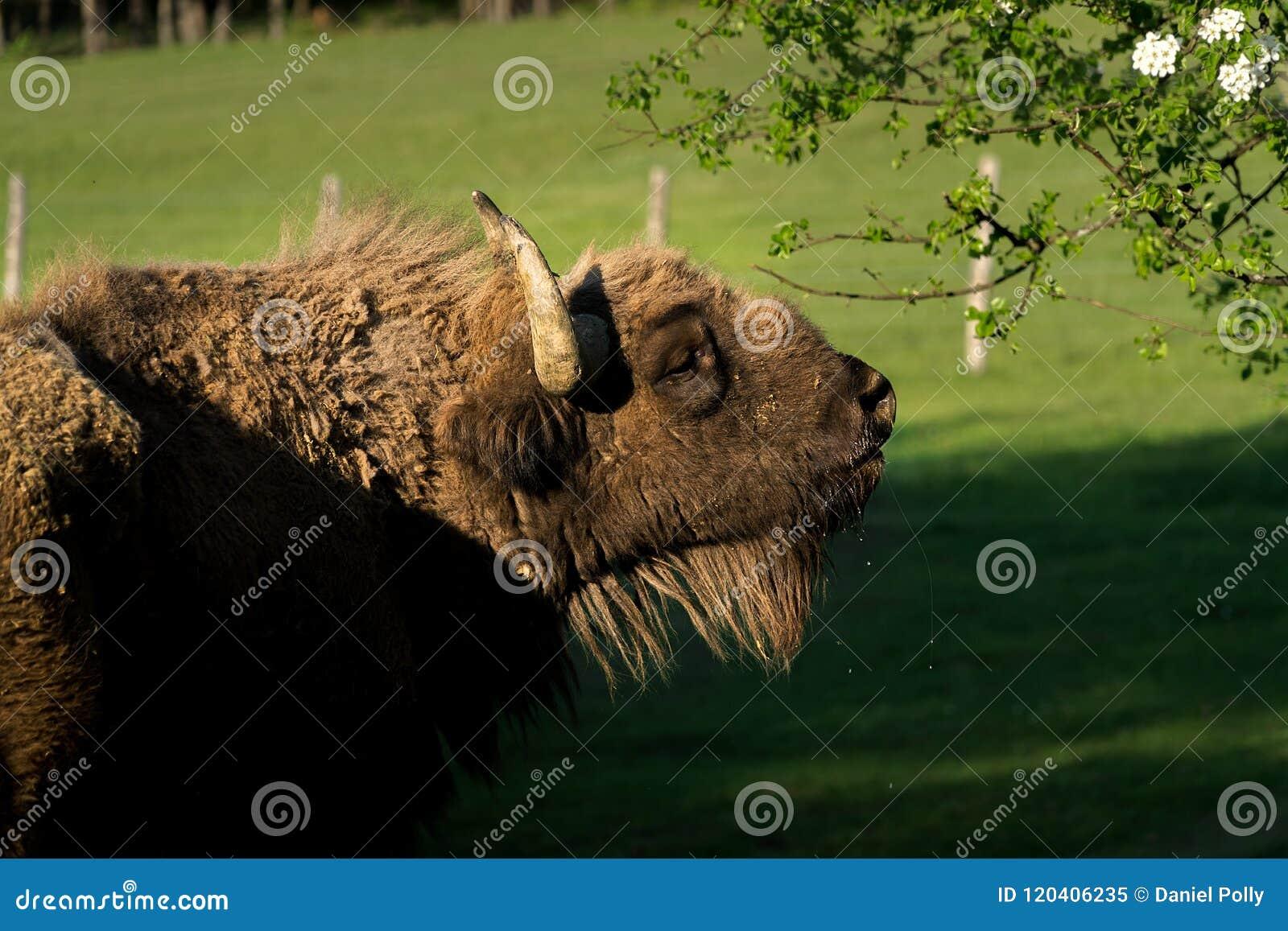 Den smutsiga våta buffeln äter hans blad
